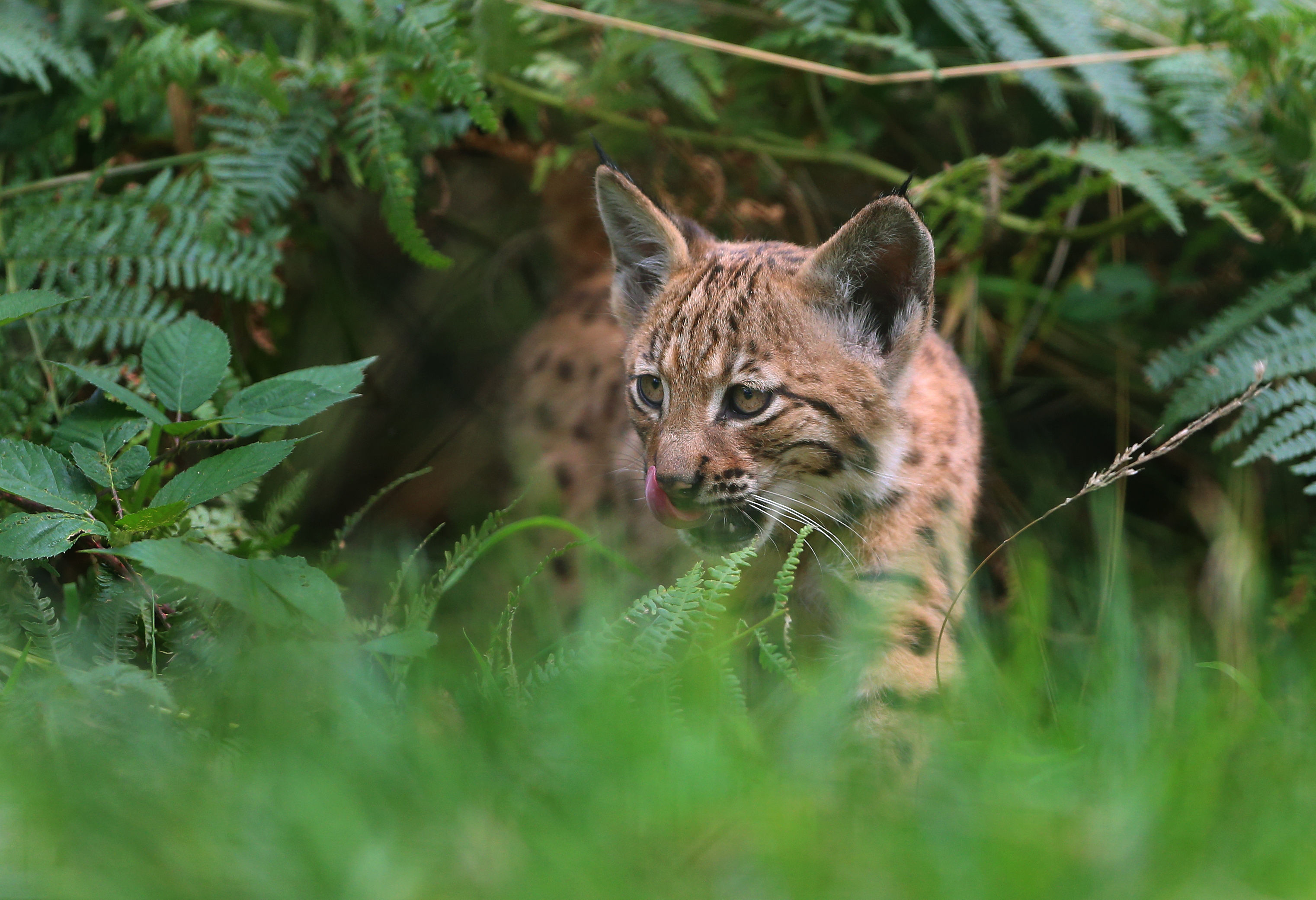 A 10-week-old Lynx kitten.