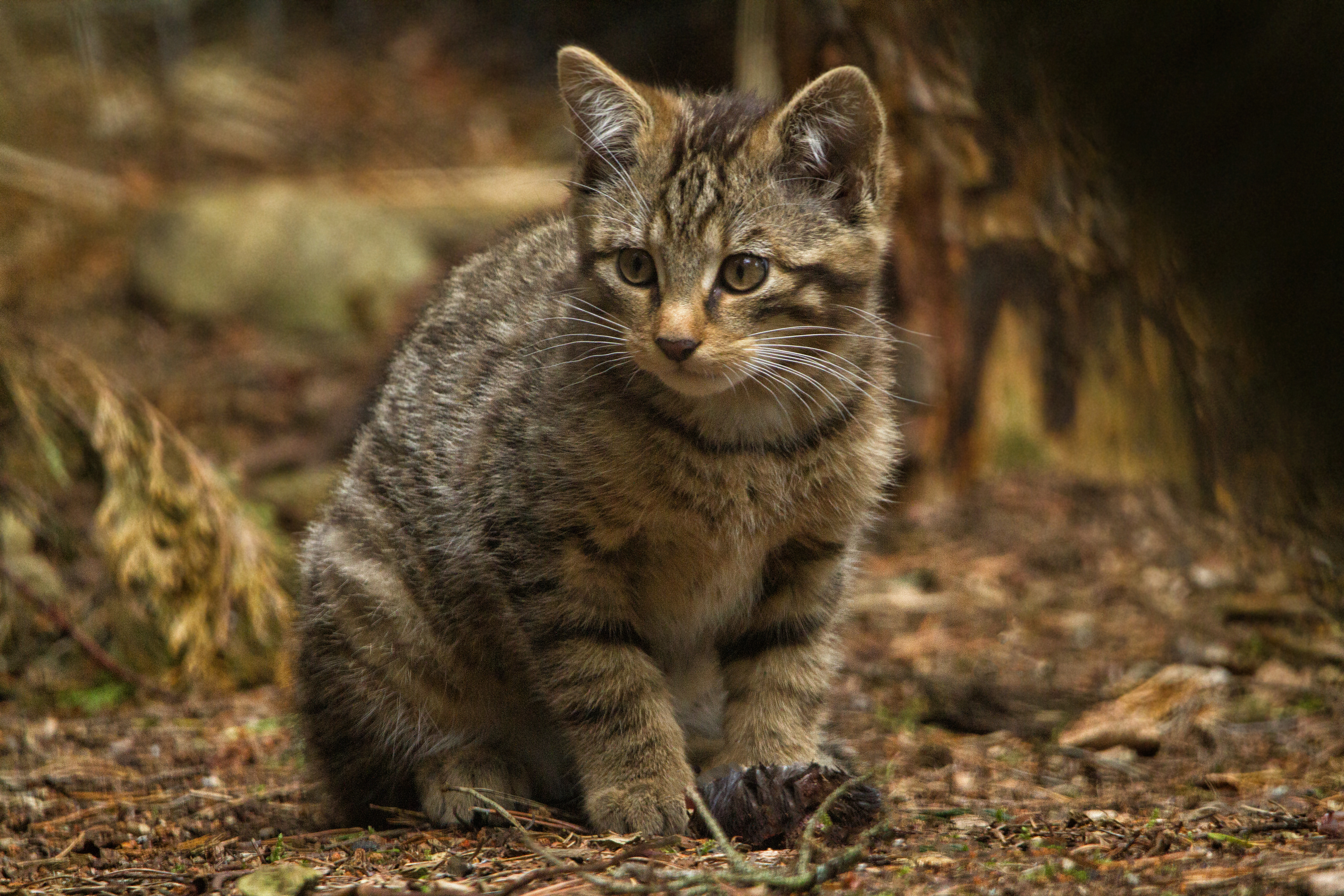 All Wild Cat Species