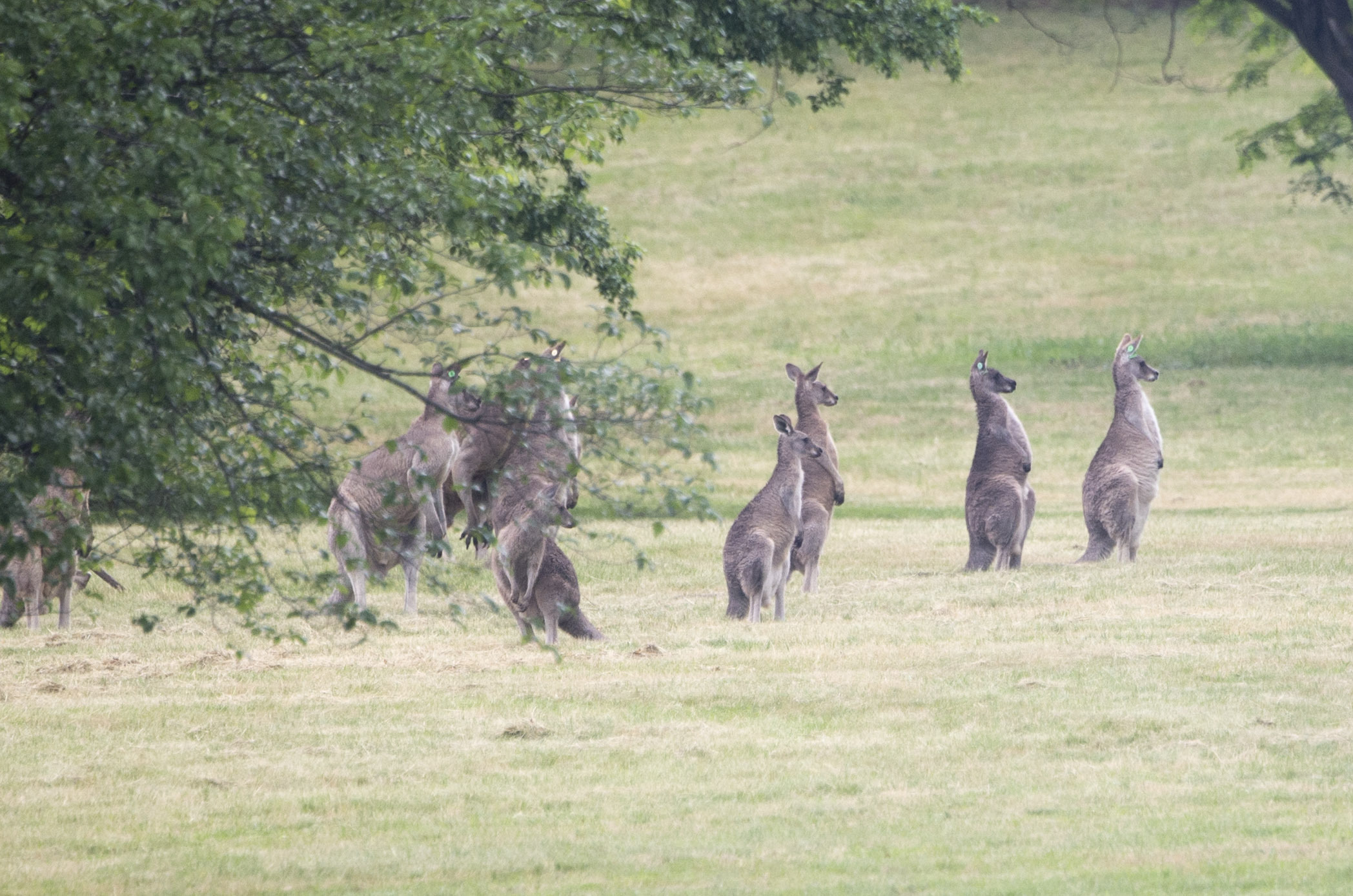 A mob of kangaroos viewed by the visiting Duchess of Cornwall on the grounds of Government House in Canberra, Australia.