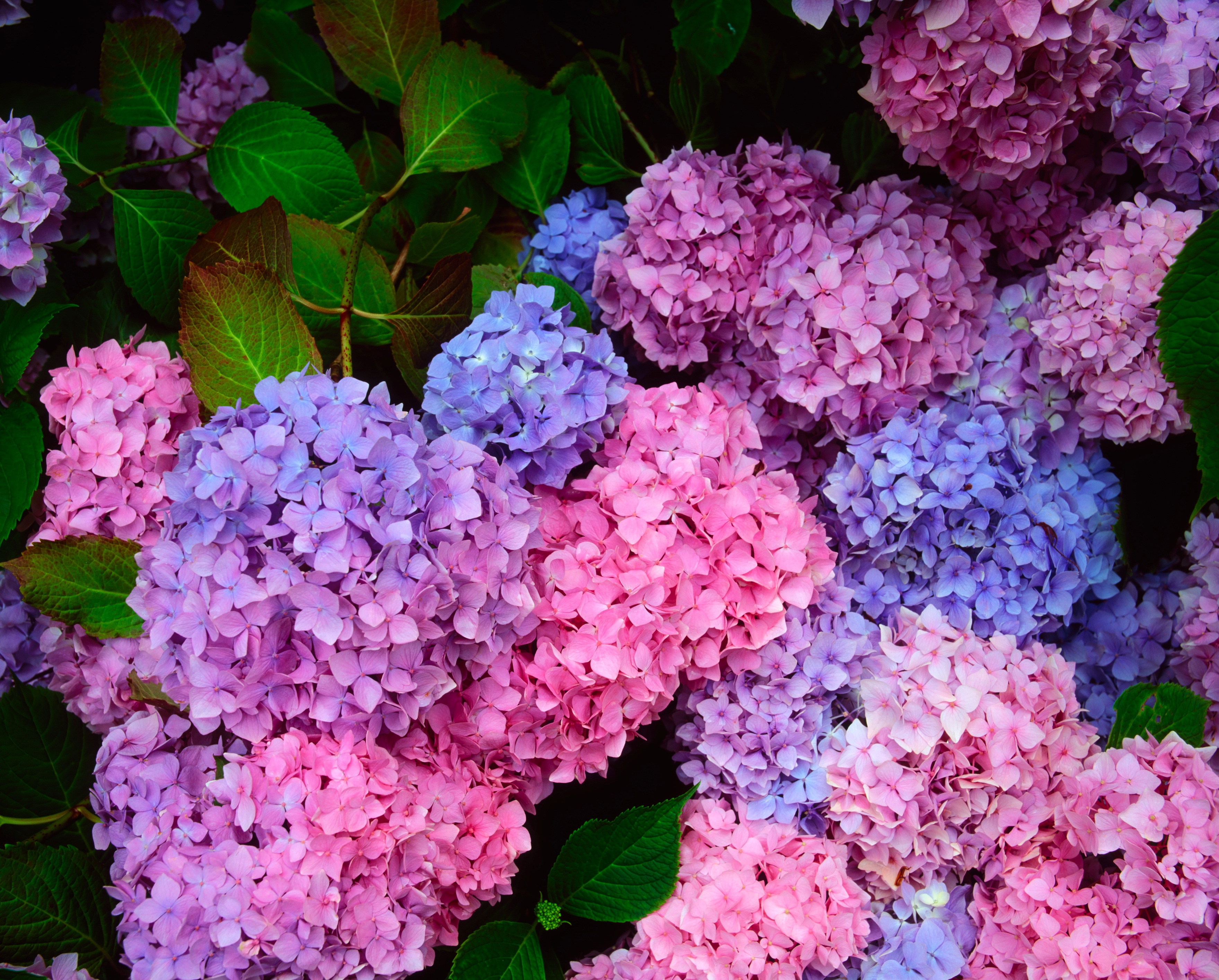 Purple hydrangeas in bloom (Thinkstock/PA)