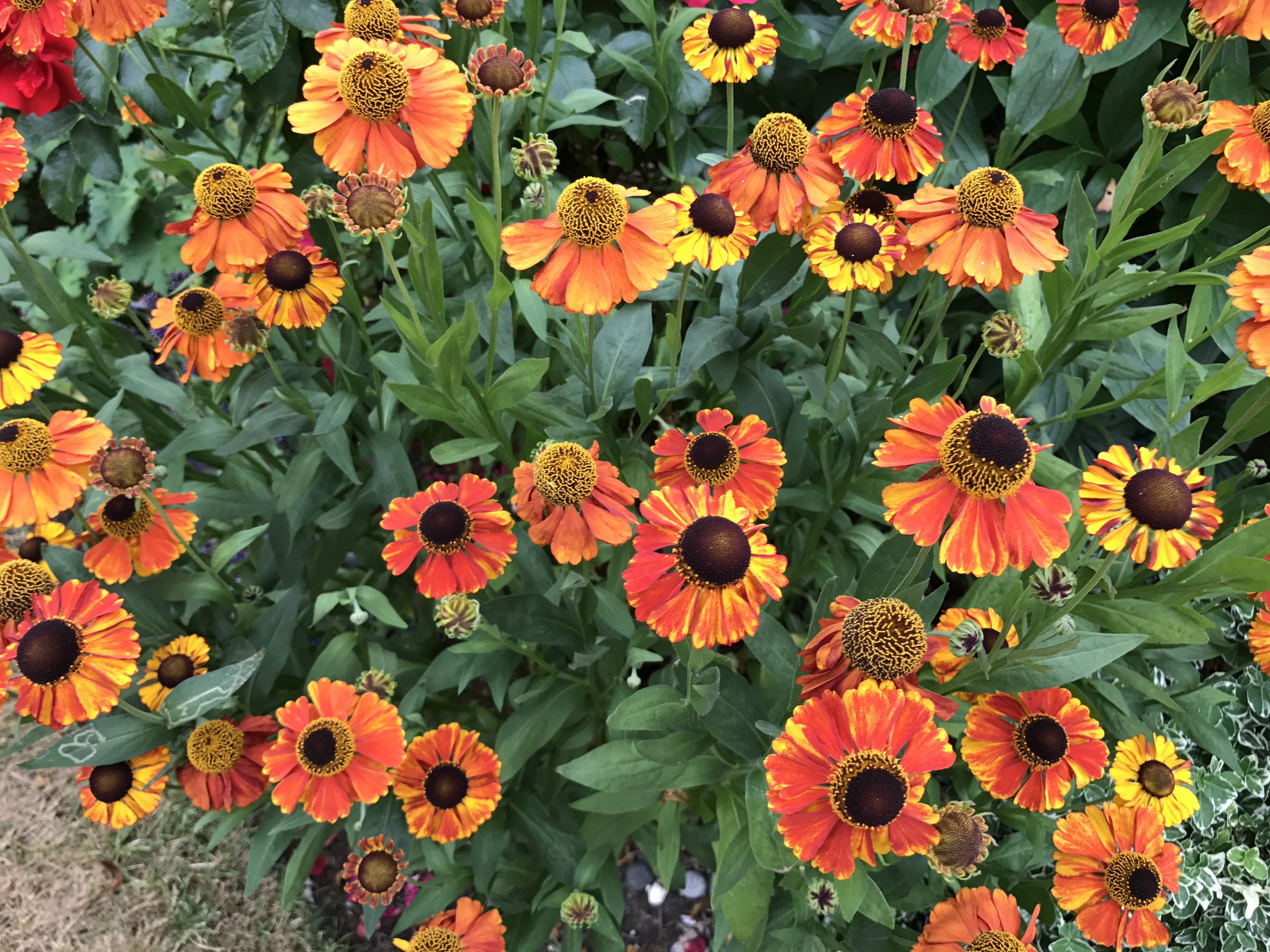 Heleniums in bloom (Thinkstock/PA)