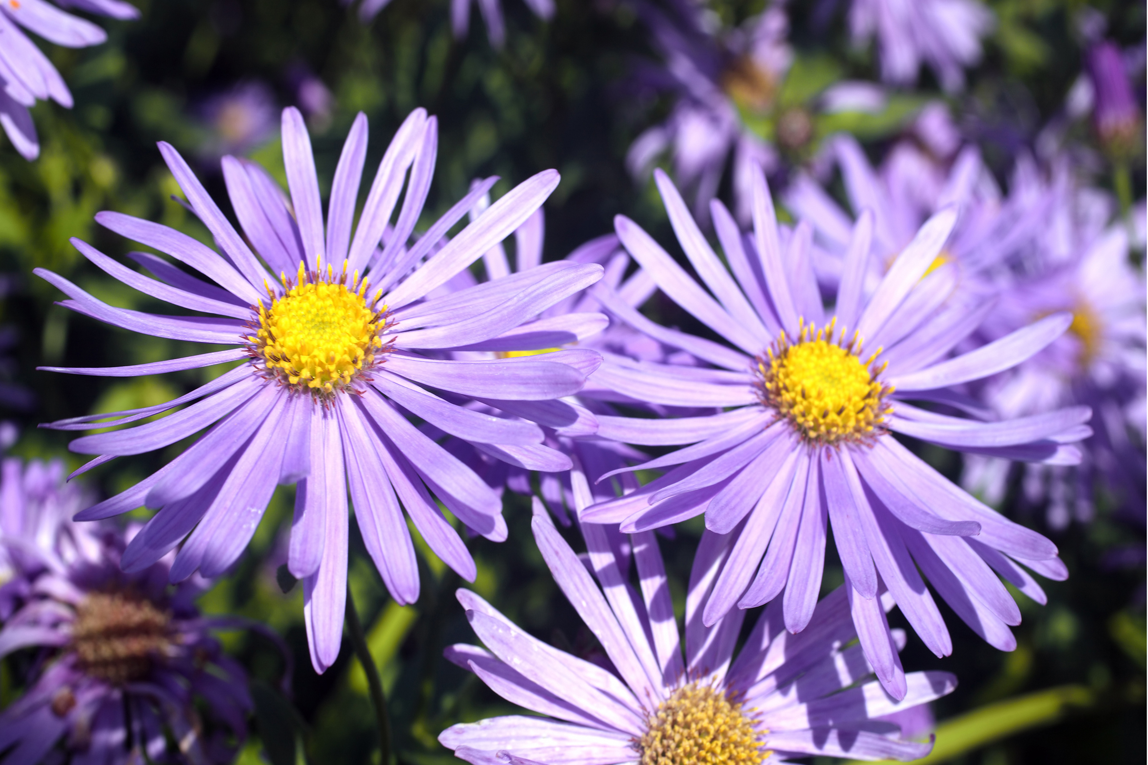 Aster x frikartii, known as the Michaelmas daisy, in bloom (Thinkstock/PA)