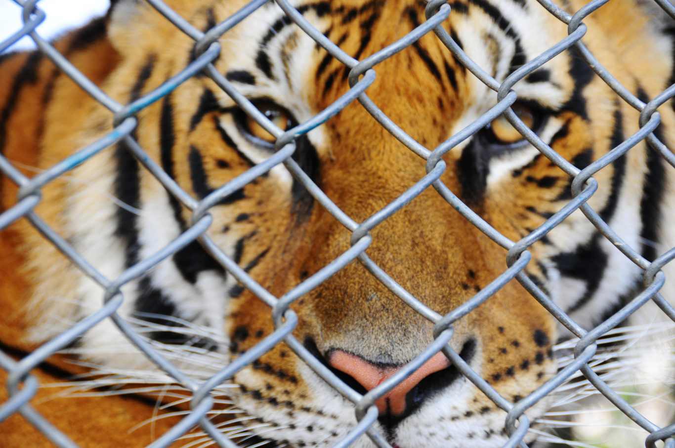 Tinder is asking users to stop posting selfies with tigers