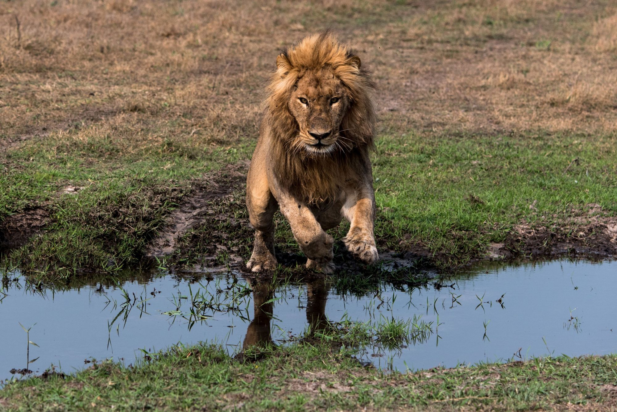 A lion leaping across a river