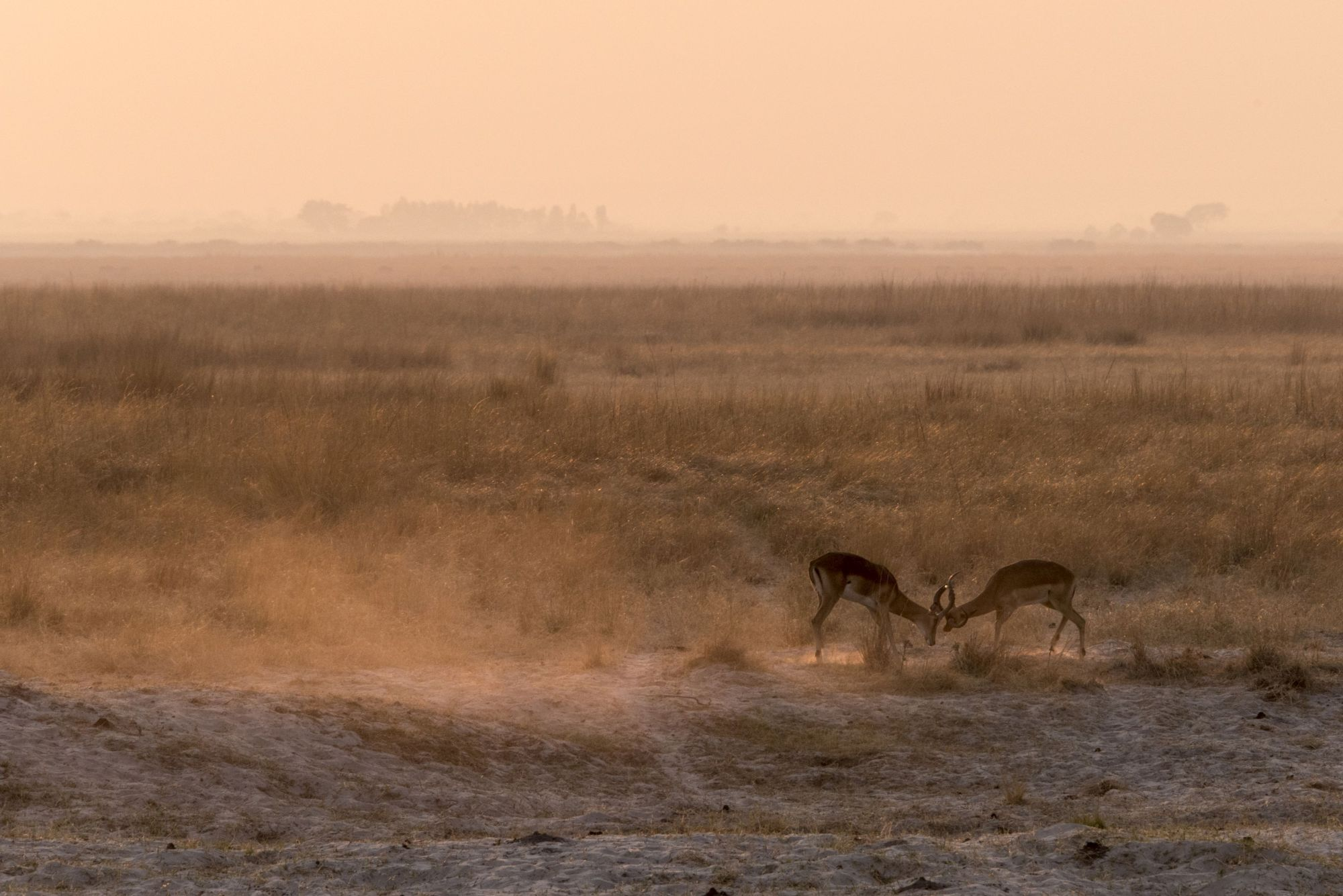 Antelope fighting at dawn (Sarah Marshall/PA)