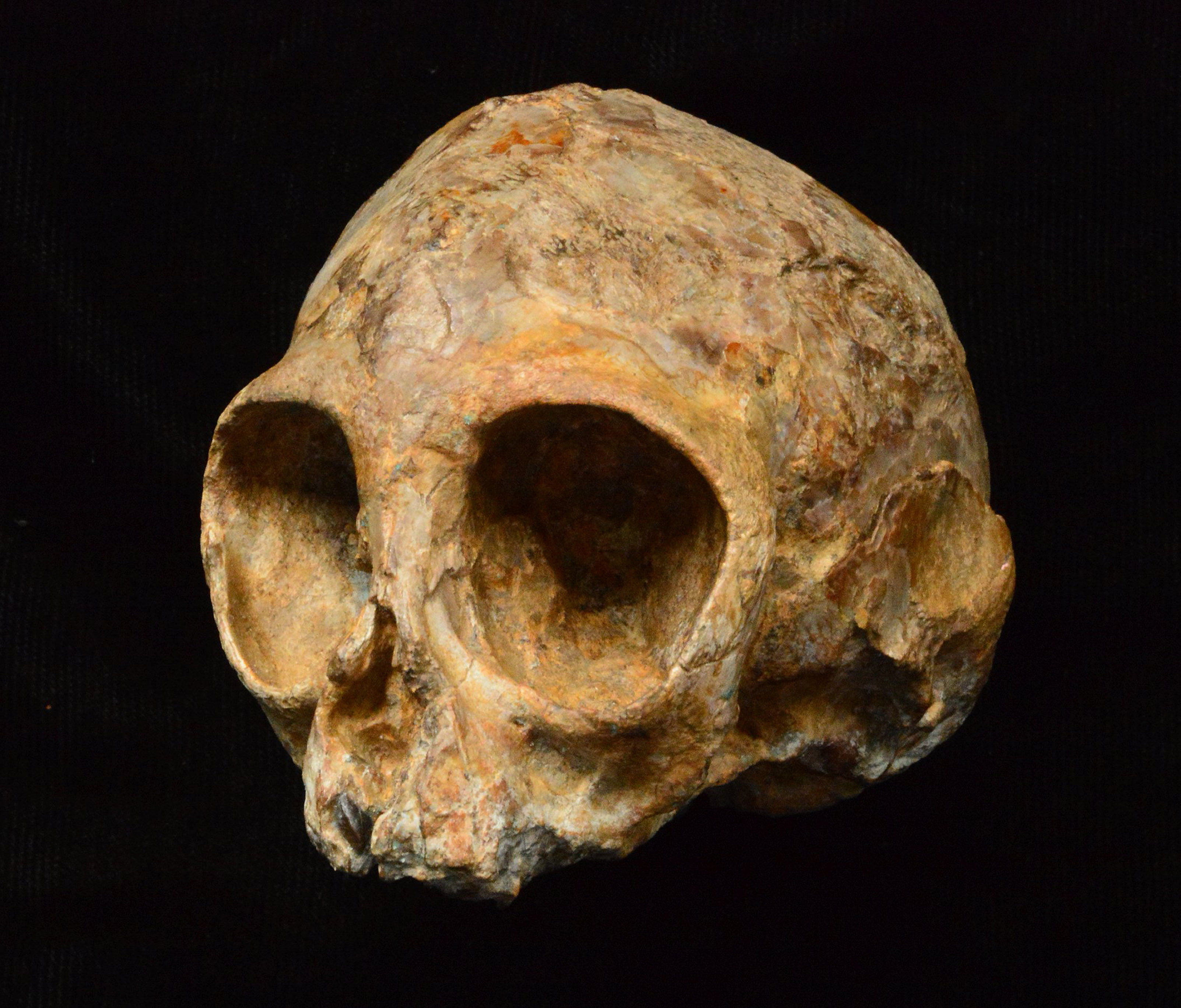 Embargoed to 1800 Wednesday August 9 Undated handout photo issued by the Leakey Foundation of the skull of Alesi, an extinct African ape that lived 13 million years ago which may shed light on the mystery of human origins.