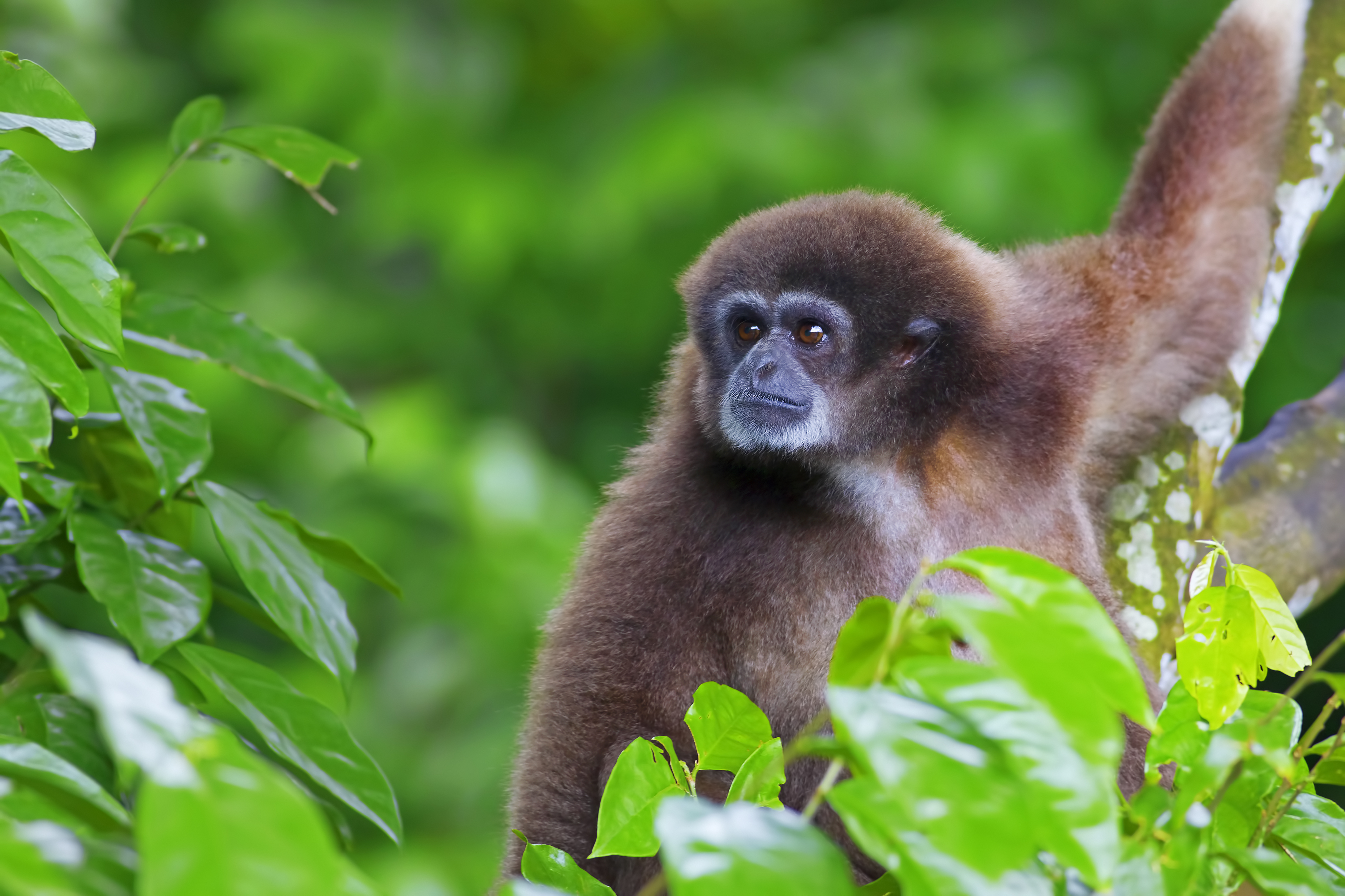 gibbon asian personals We have received the endorsement of the african and the asian rhino  and currently over 8,200 references dating from roman times up  minas gerais, brazil we .