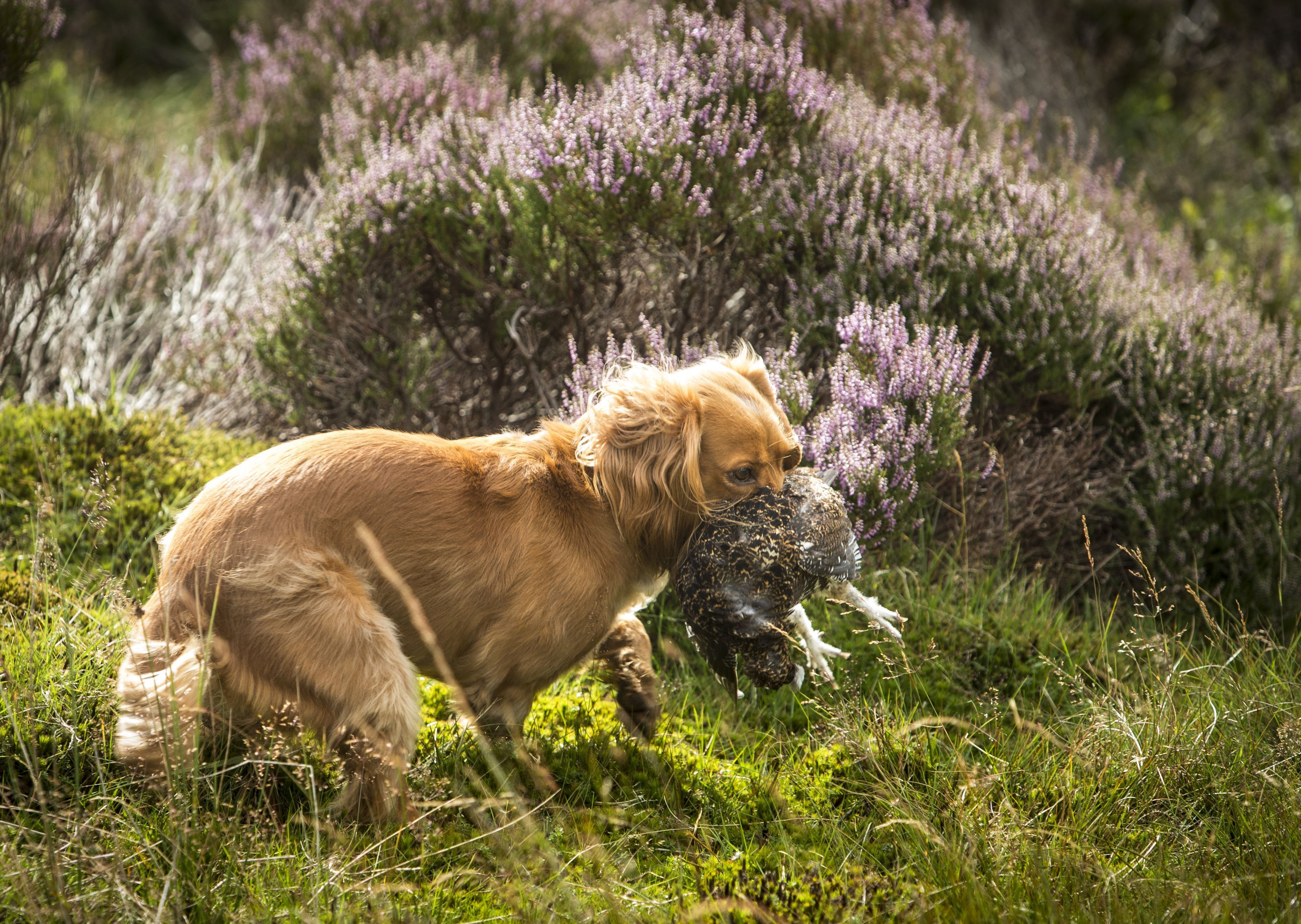 A dog holds a dead grouse in its mouth on the moor (Danny Lawson/PA)