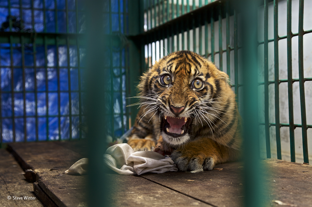 A caged Sumatran tiger
