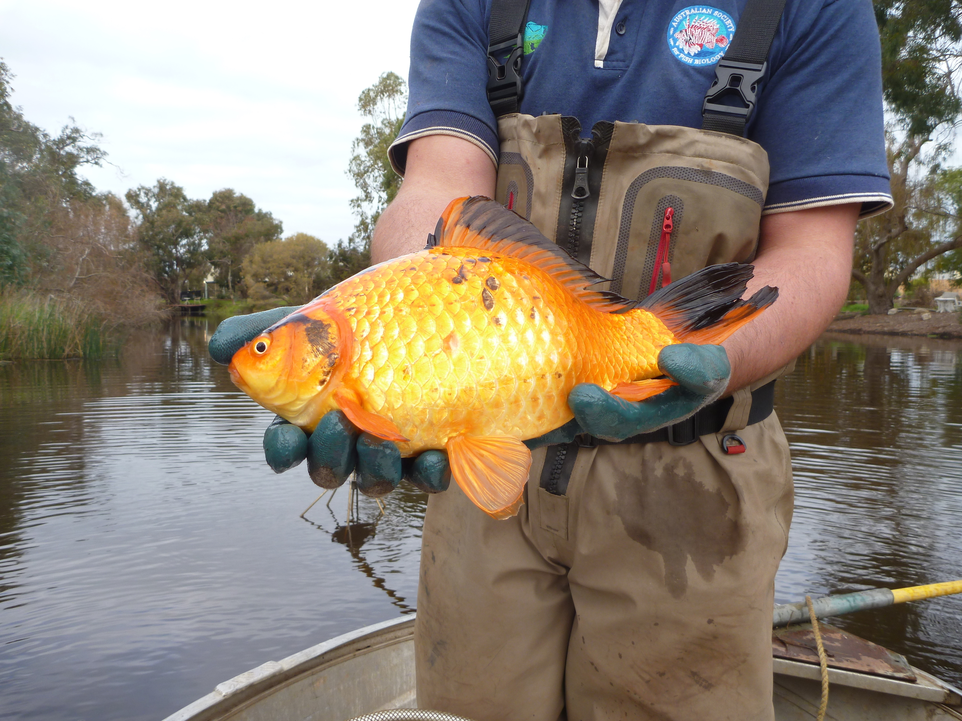 A goldfish found in the Vasse river