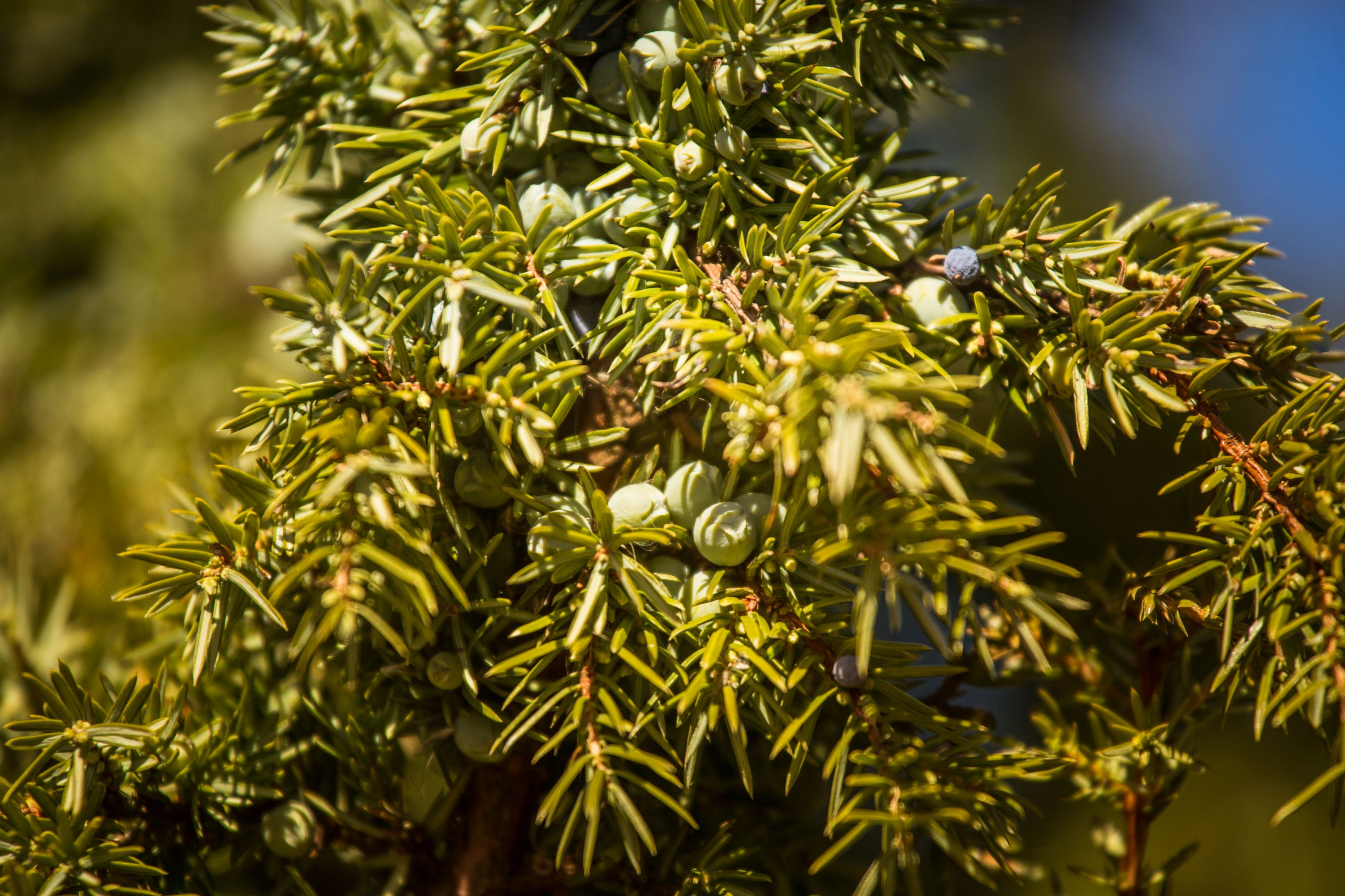 Juniper branch (Thinkstock/PA)
