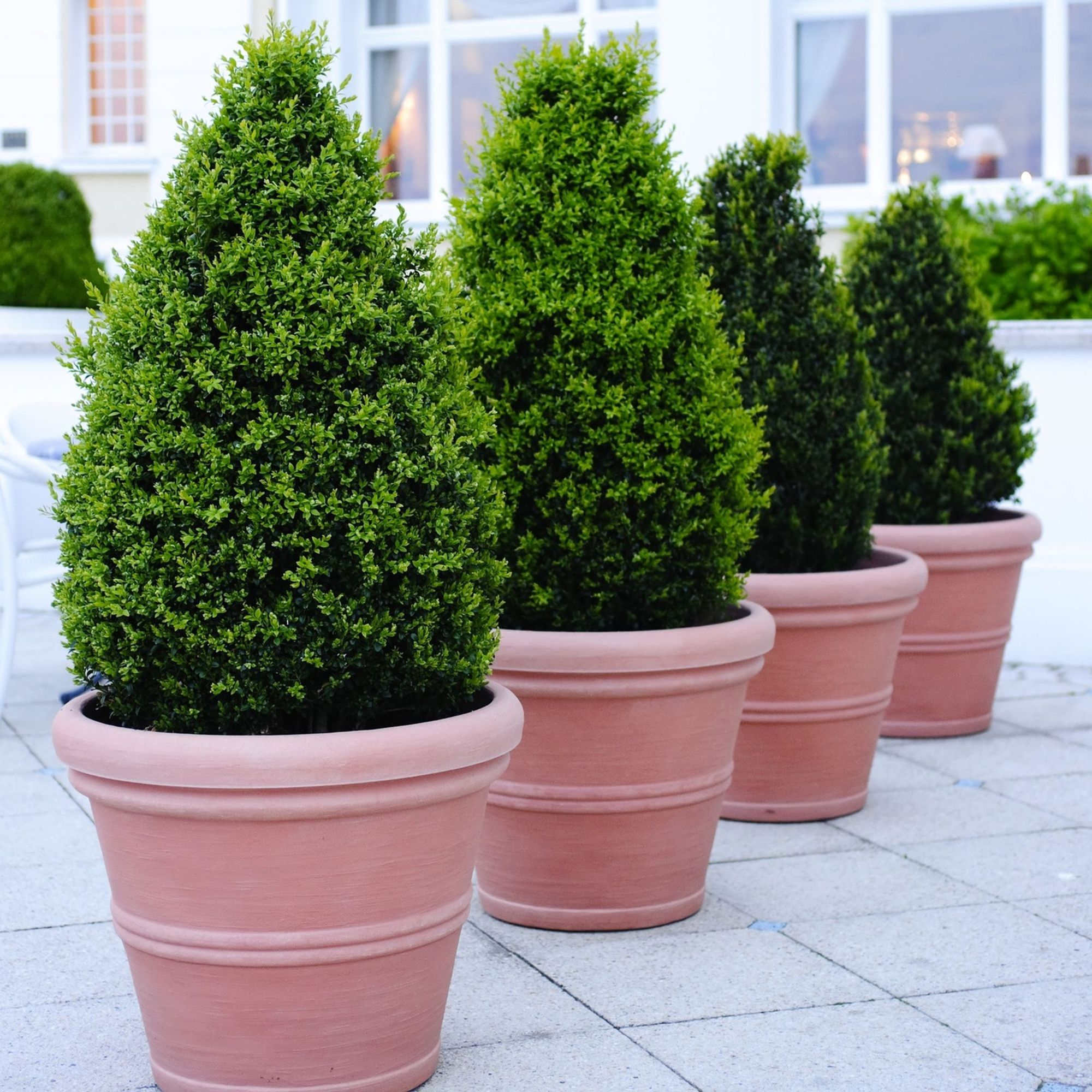 Formal conifers in pots (Thinkstock/PA)