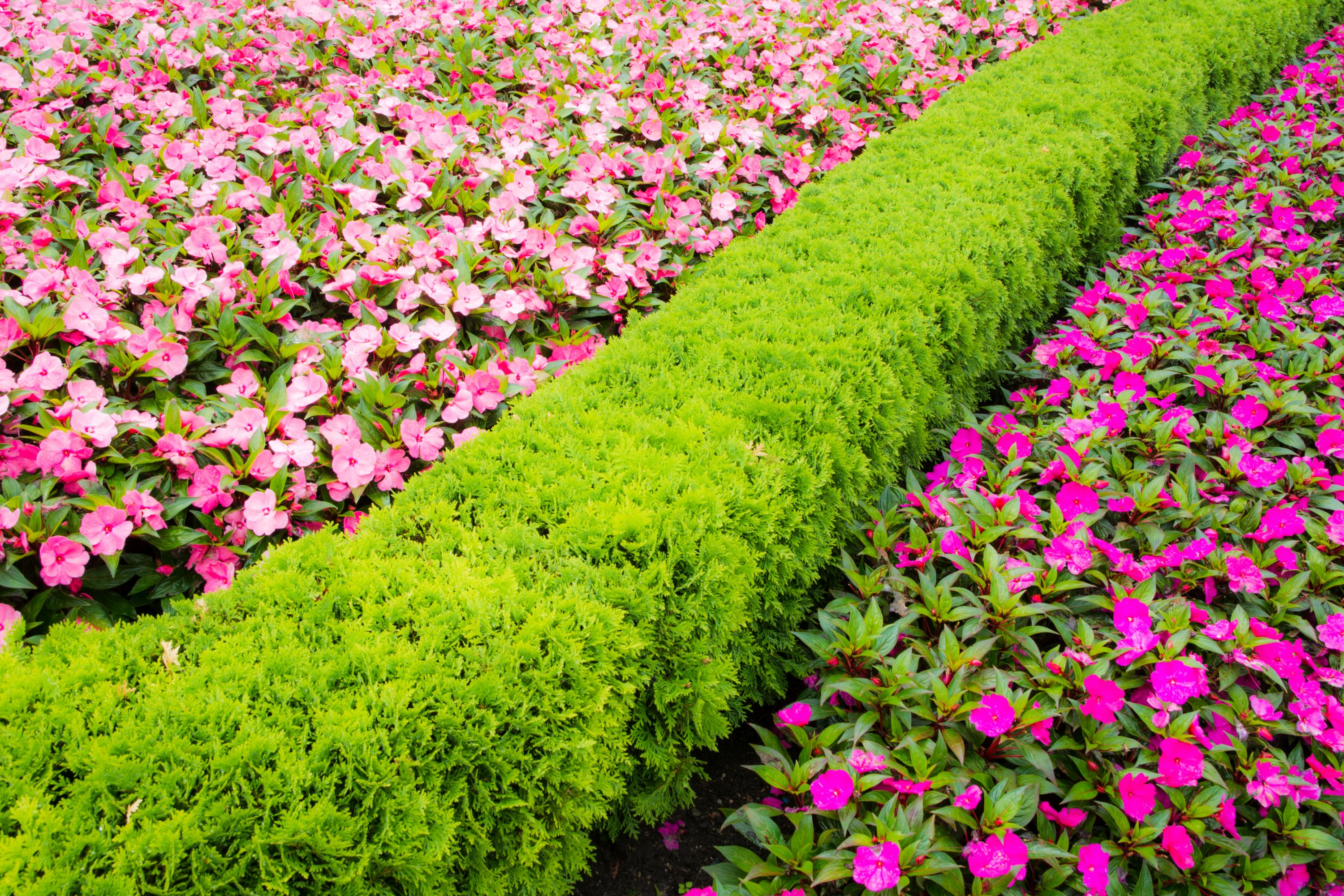 Thuja hedge with bedding (Thinkstock/PA)
