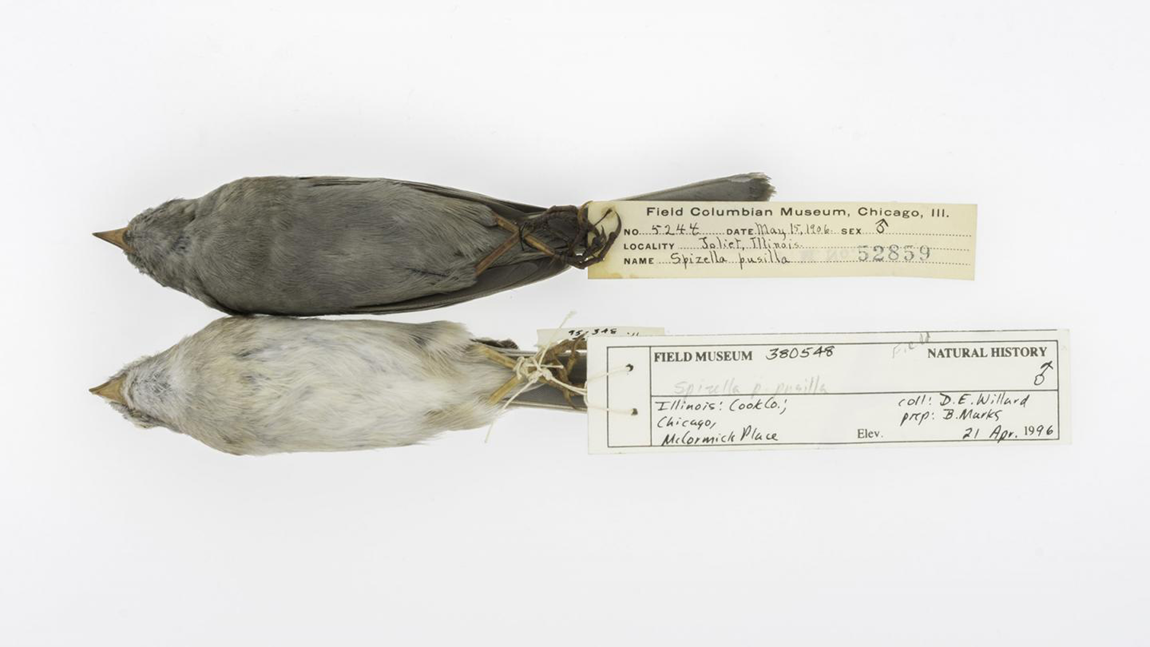 Field Sparrow specimens.