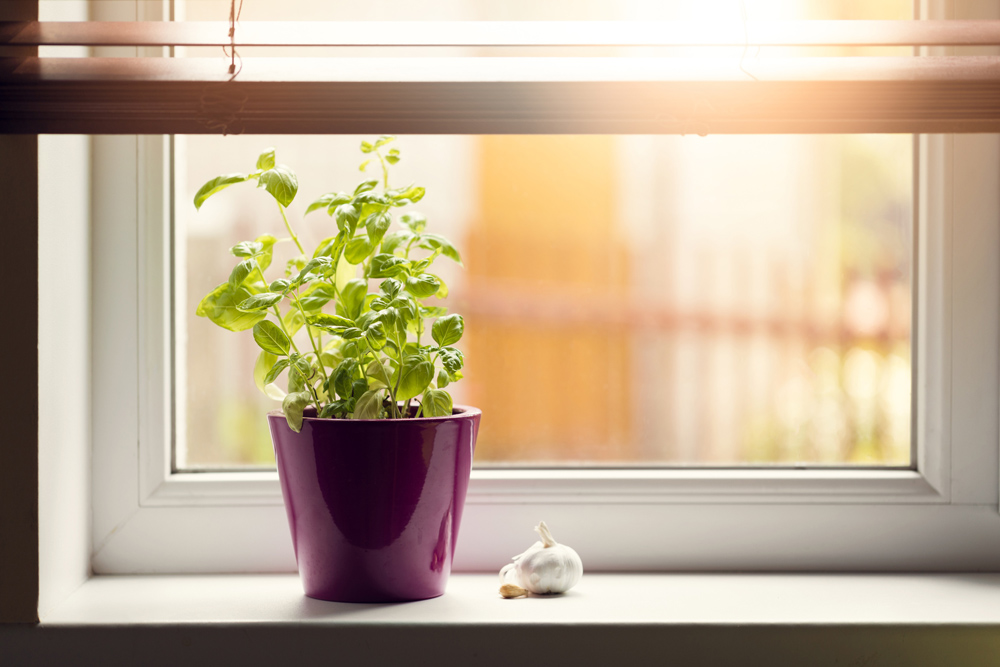 Basil likes sunlight. (Thinkstock/PA)
