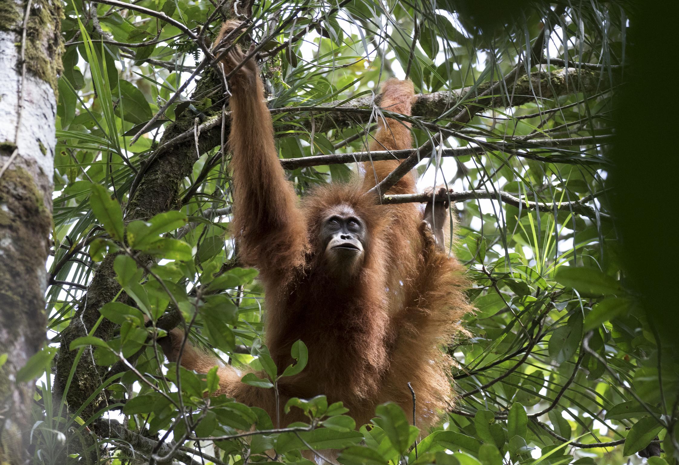 description of new orangutan species u0027incredibly exciting u0027 say