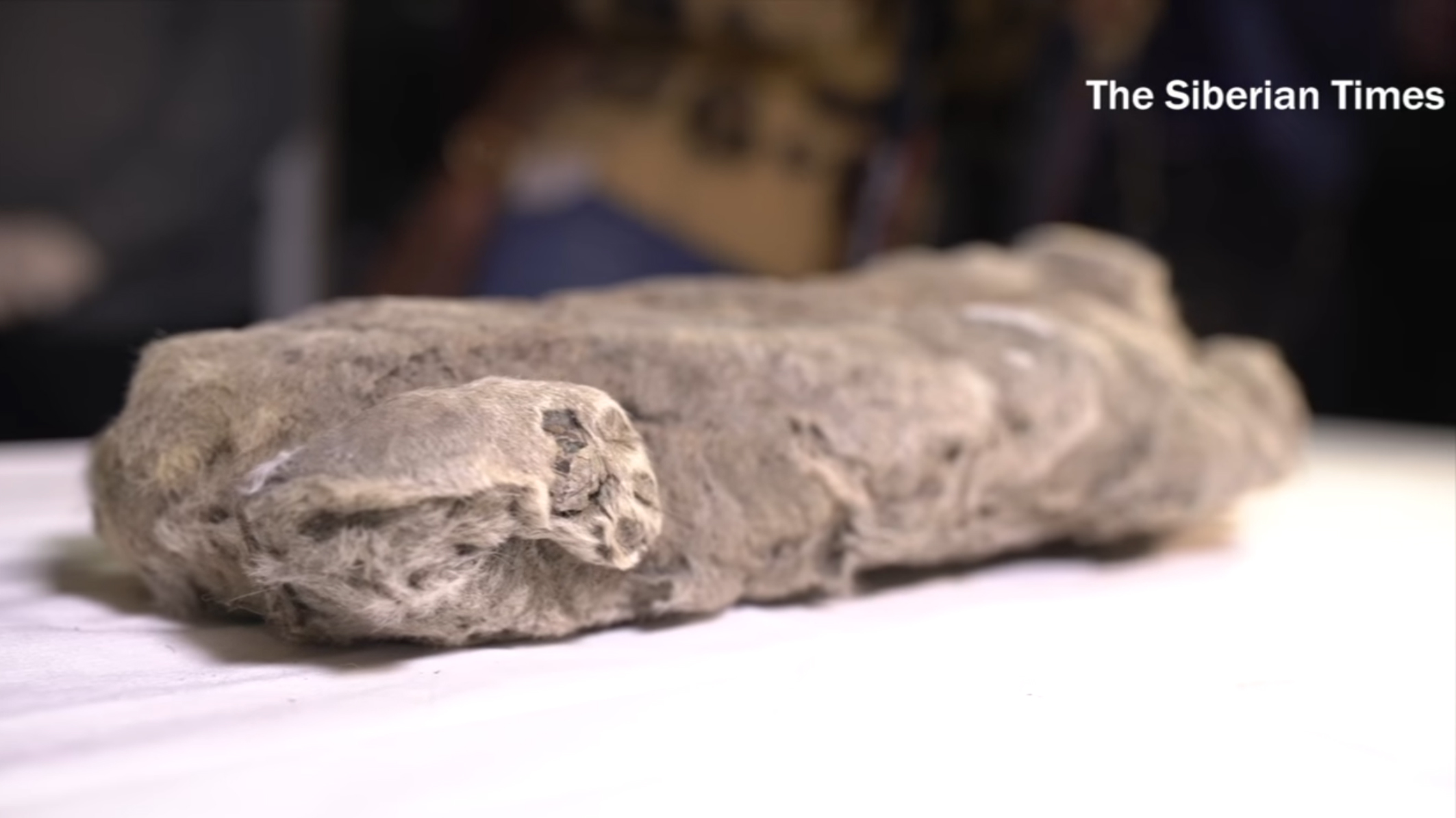 Extinct lion cub preserved in permafrost.