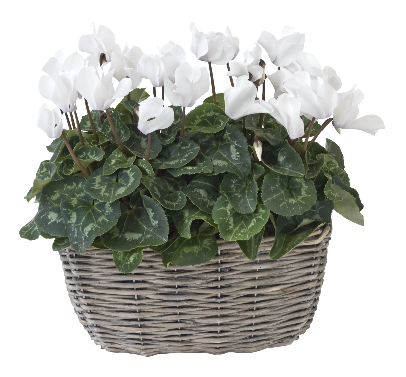 Cyclamen (Dobbies/PA)
