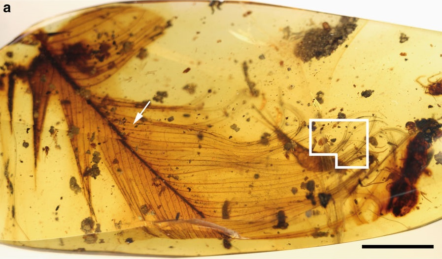 An image showing the tick in the amber