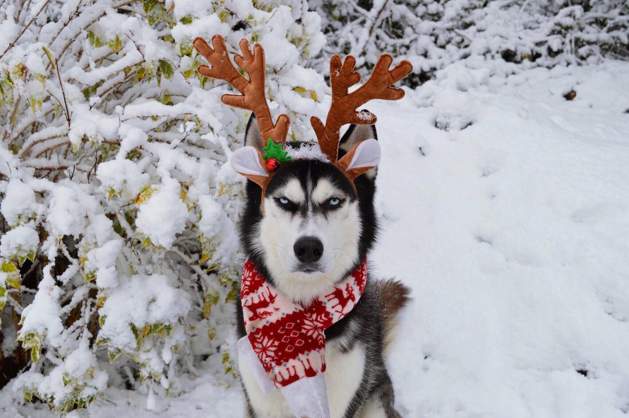 Anuko the husky
