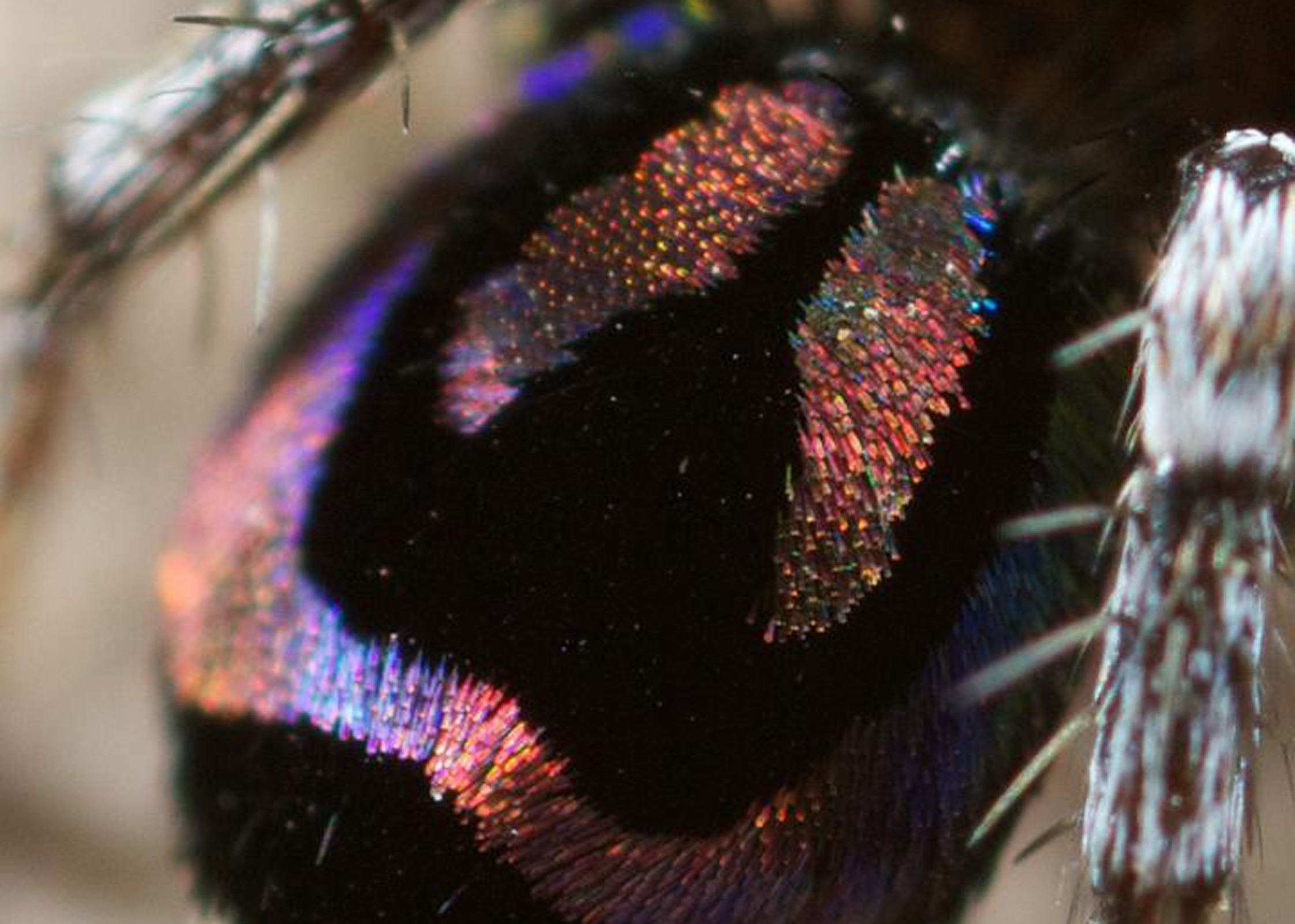 Rainbow peacock spider.