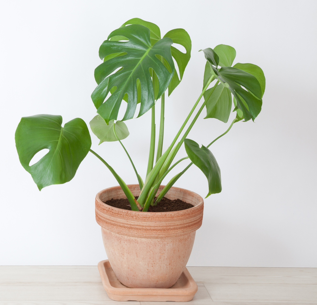 Philodendron (Ambius/PA)