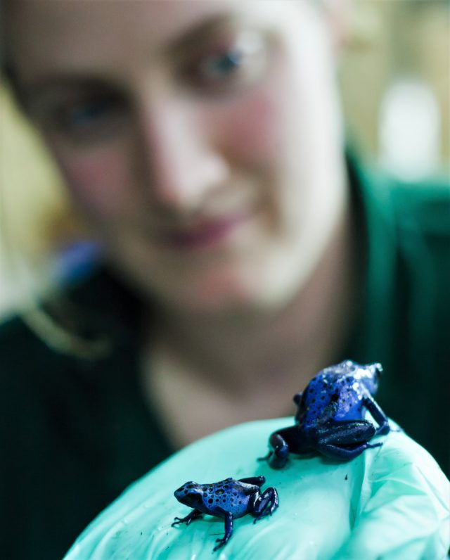 Blue dart frogs at Paignton Zoo (Paignton Zoo/PA)