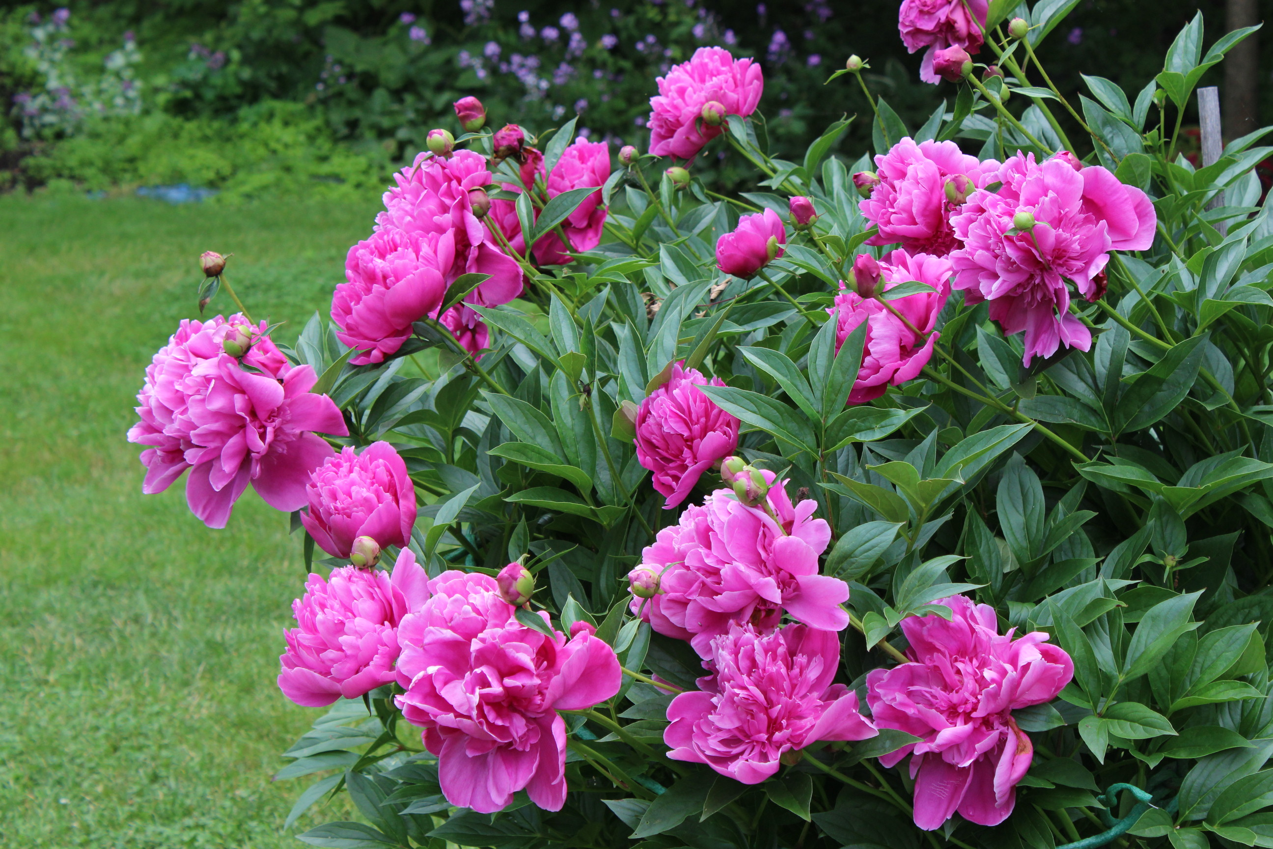 How Easy Are Peonies To Grow In Your Own Garden Bt