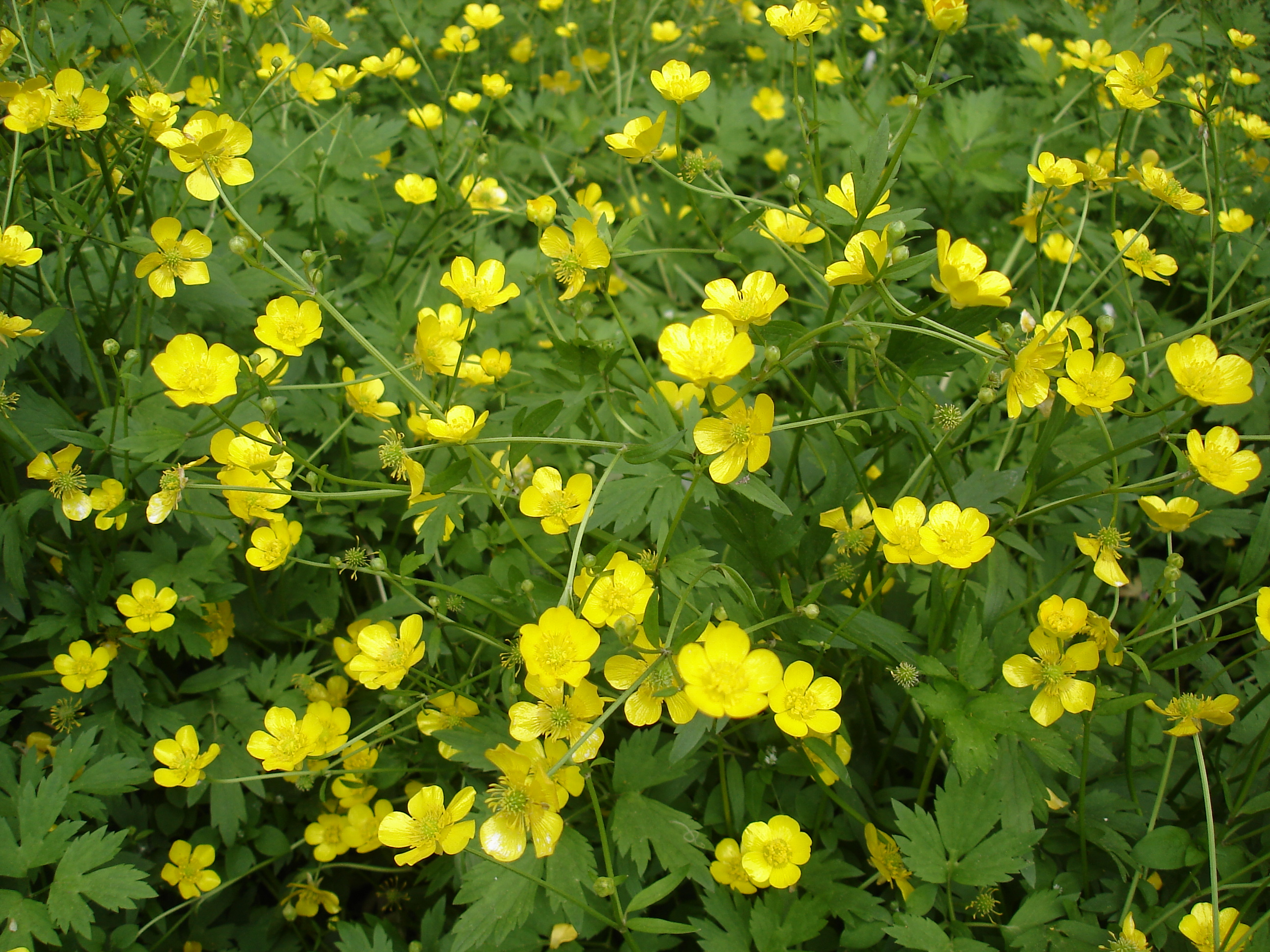 The creeping buttercup's Latin name is Ranunculus repens (Thinkstock/PA)