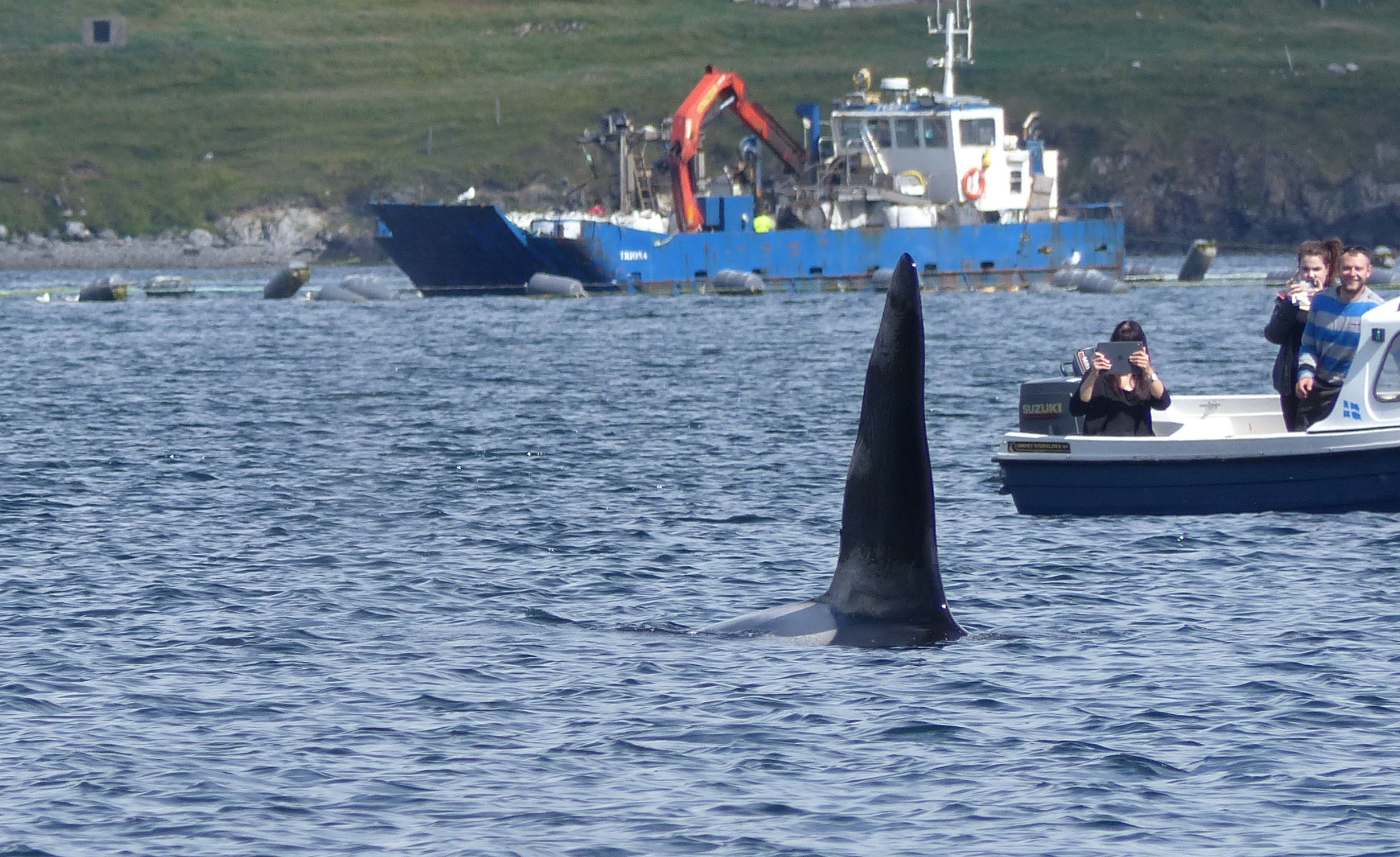 Killer whale seen off Shetland during the event (Rhona Clarke)