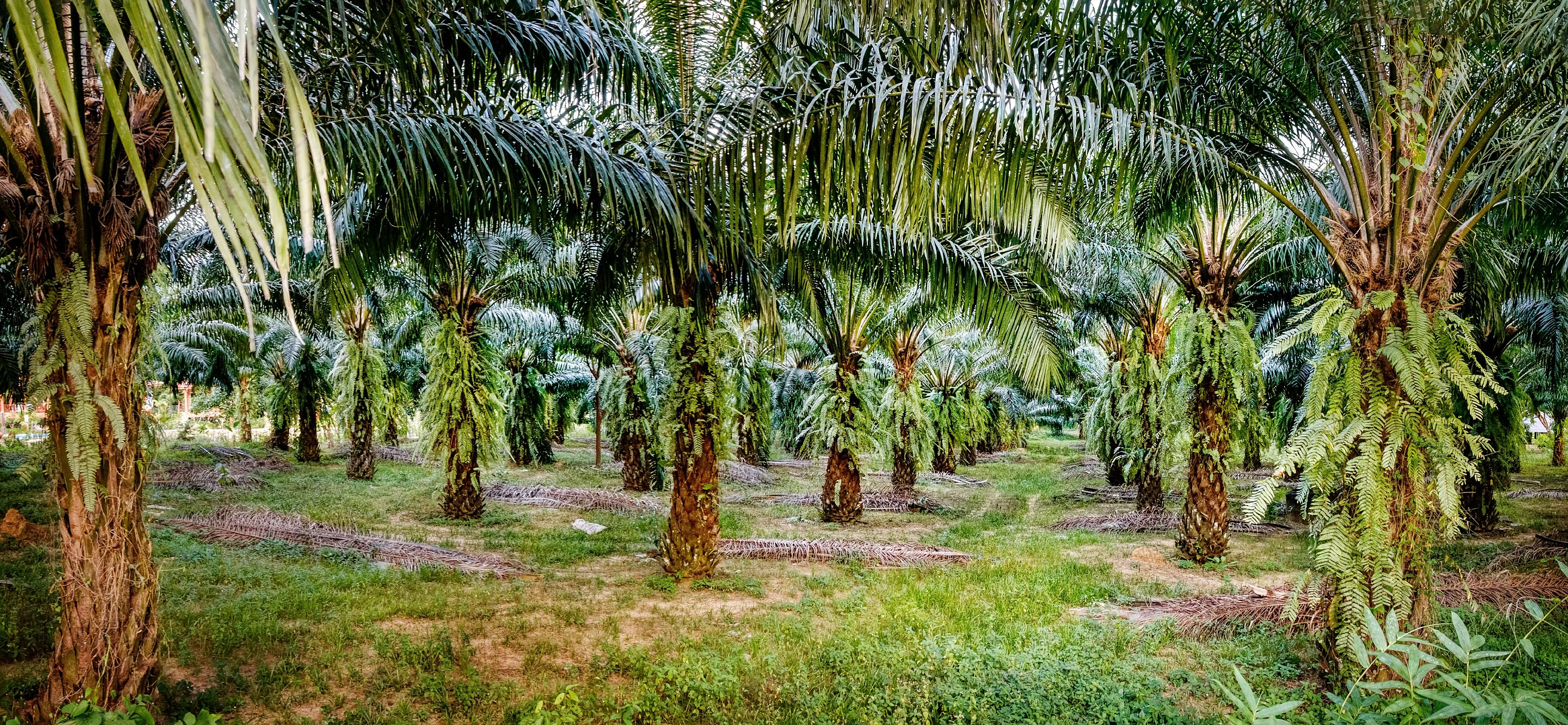 Palm oil plantations, Thailand
