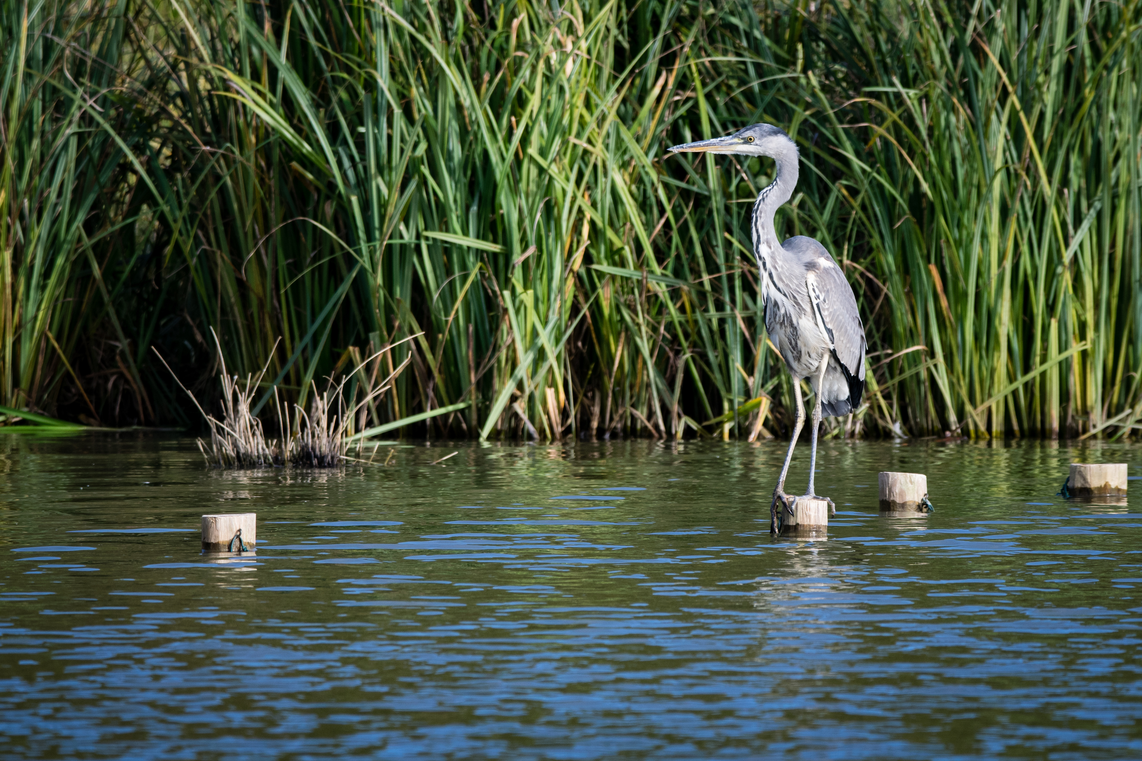 Protect your pond from herons. (Thinkstock/PA)