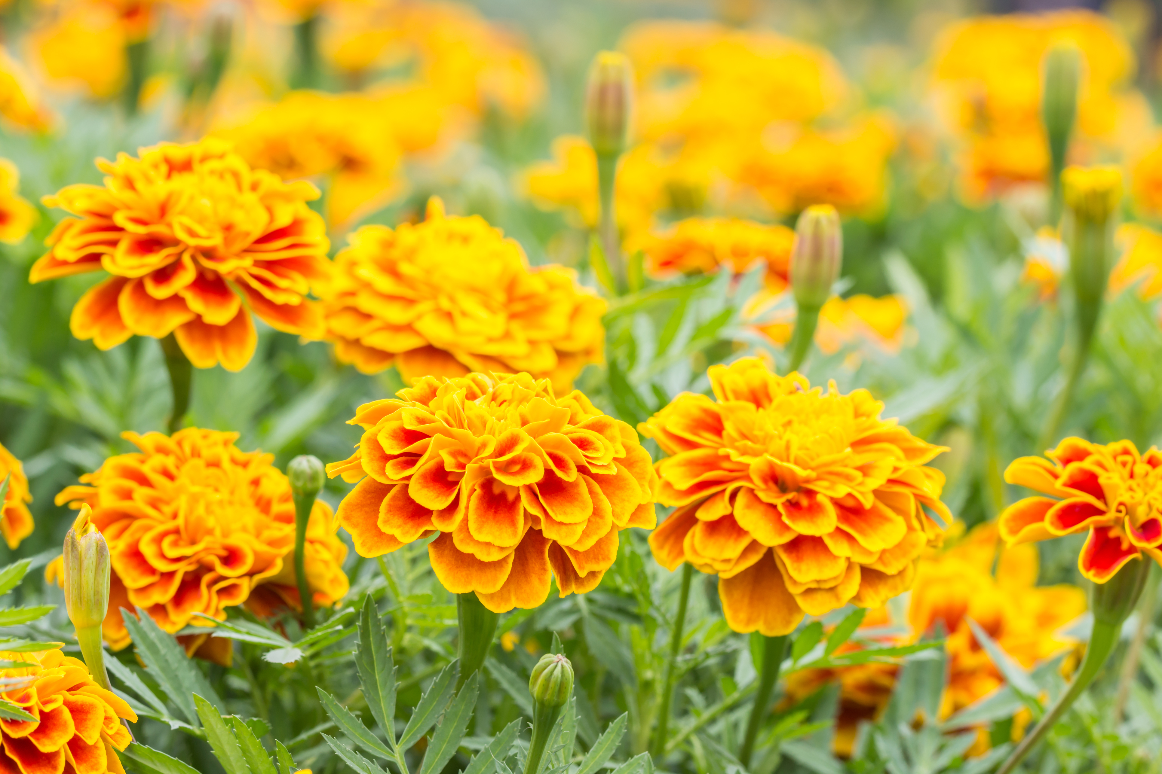 The smell of marigolds repels whitefly. (Thinkstock/PA)