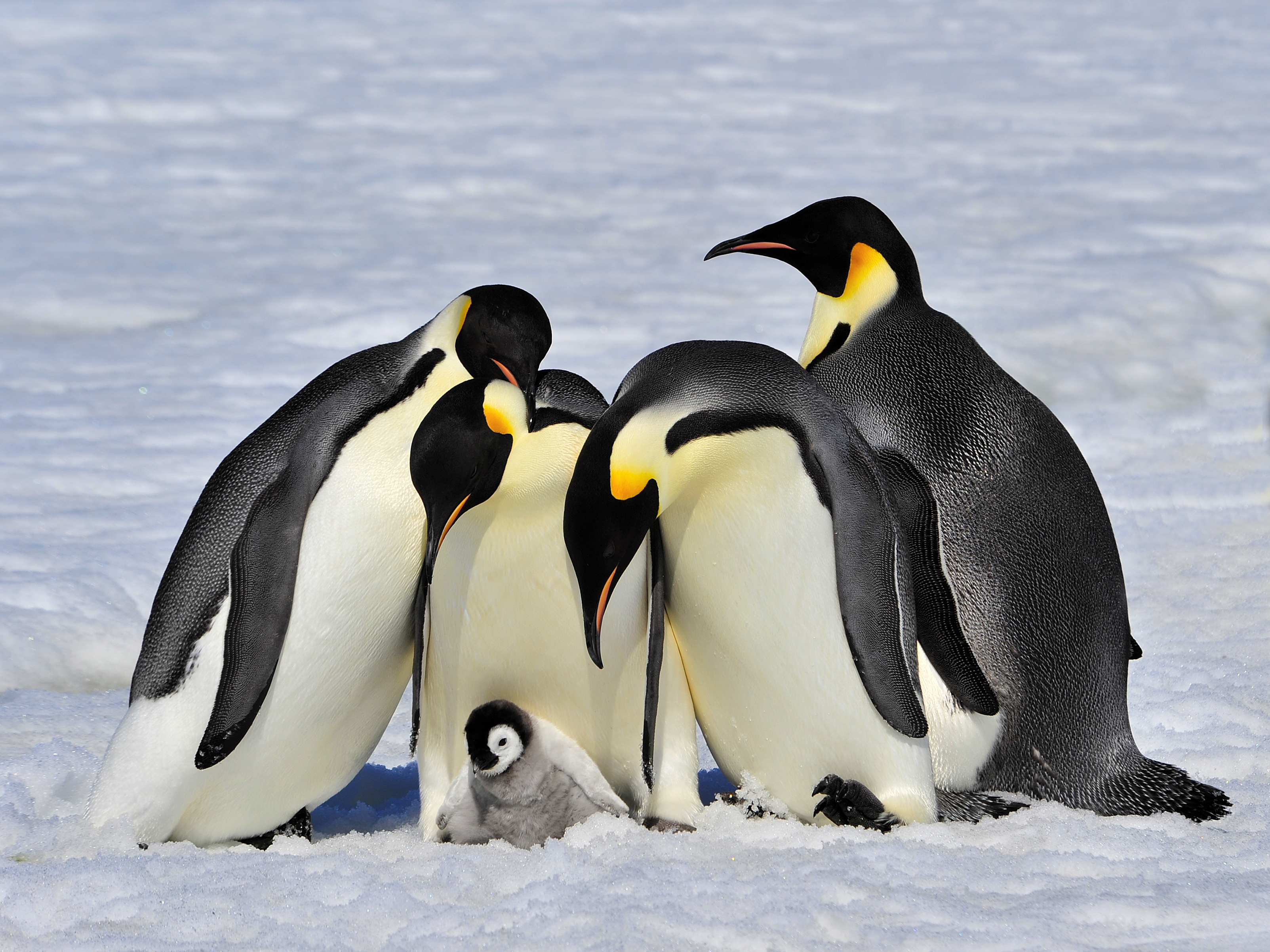 Emperor penguins.
