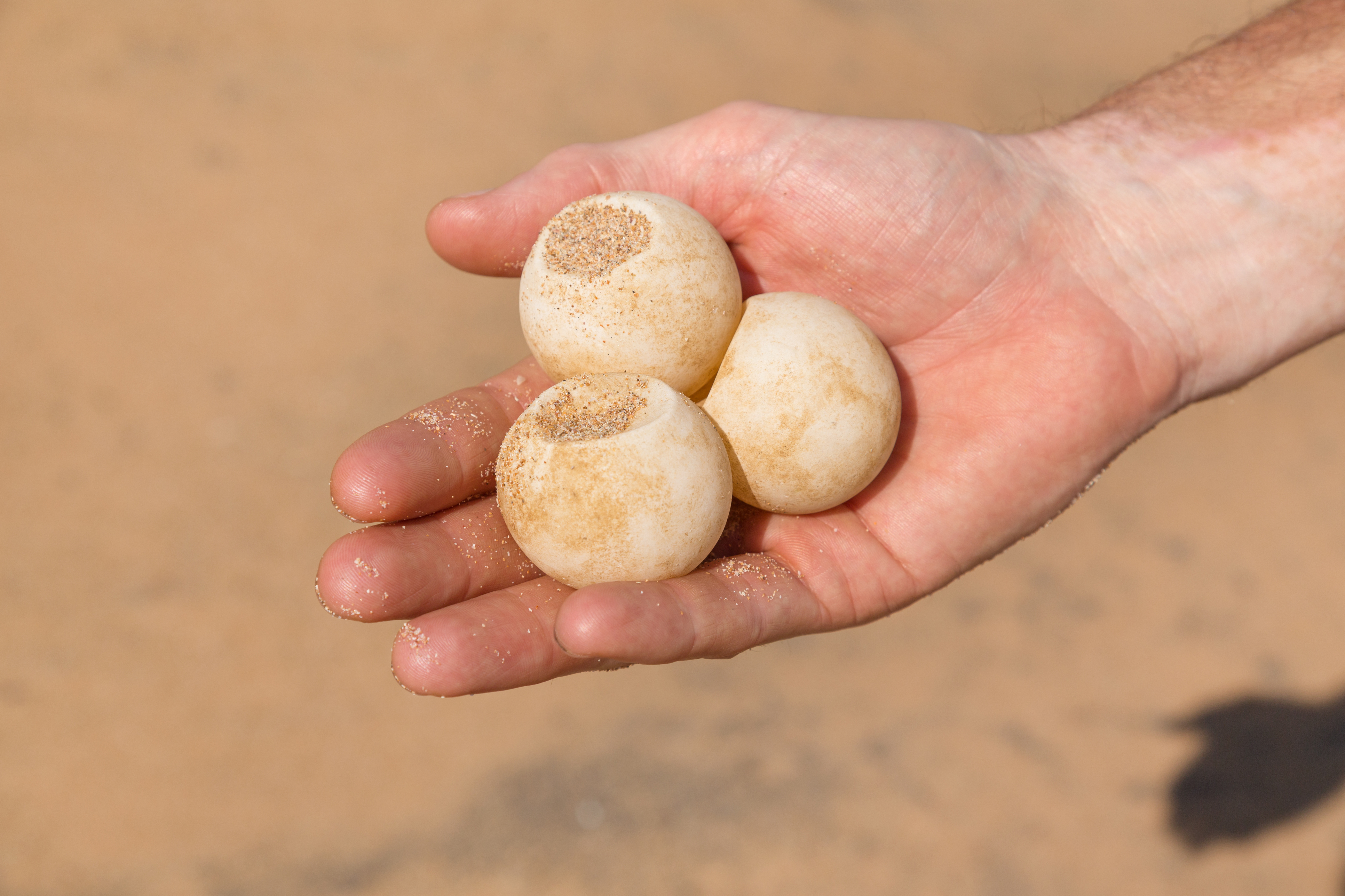 Turtle eggs (Thinkstock/PA)