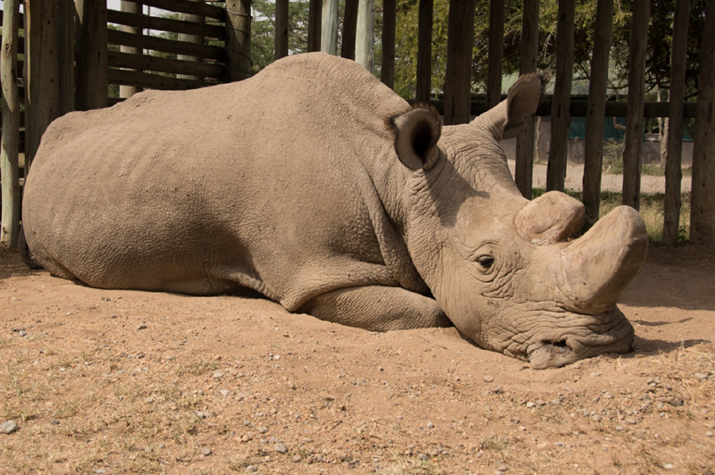 The world's only male northern white rhino, Sudan, has died aged 45 (Ol Pejeta/PA)