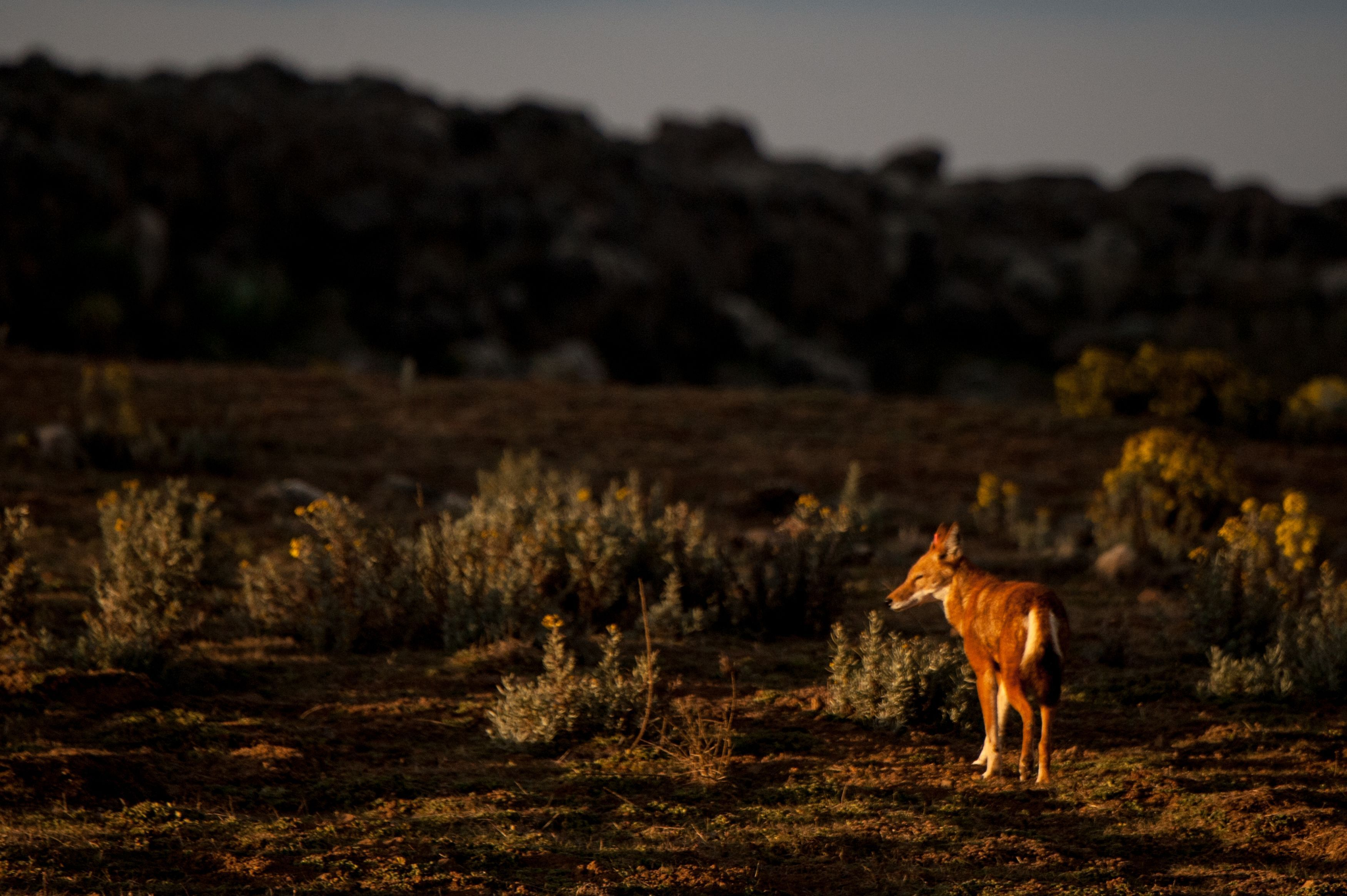 Ethiopian wolf at sunset on the Sanetti Plateau (Sarah Marshall/PA)