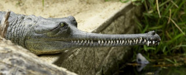 The Gharial crocodile (Josh More/ZSL/PA)