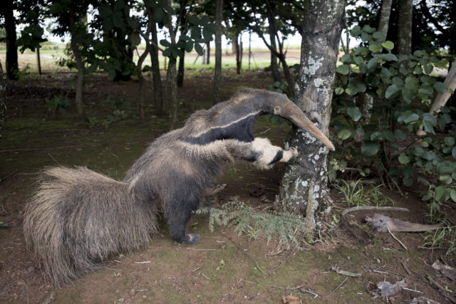 'Stuffed anteater' picture stripped of wildlife photography award