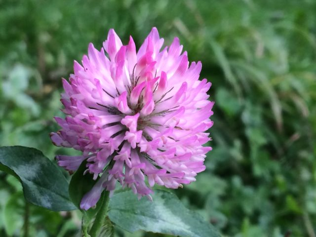 Species such as red clover which are important for wildlife are being squeezed out on road verges (Trevor Dines/Plantlife/PA)
