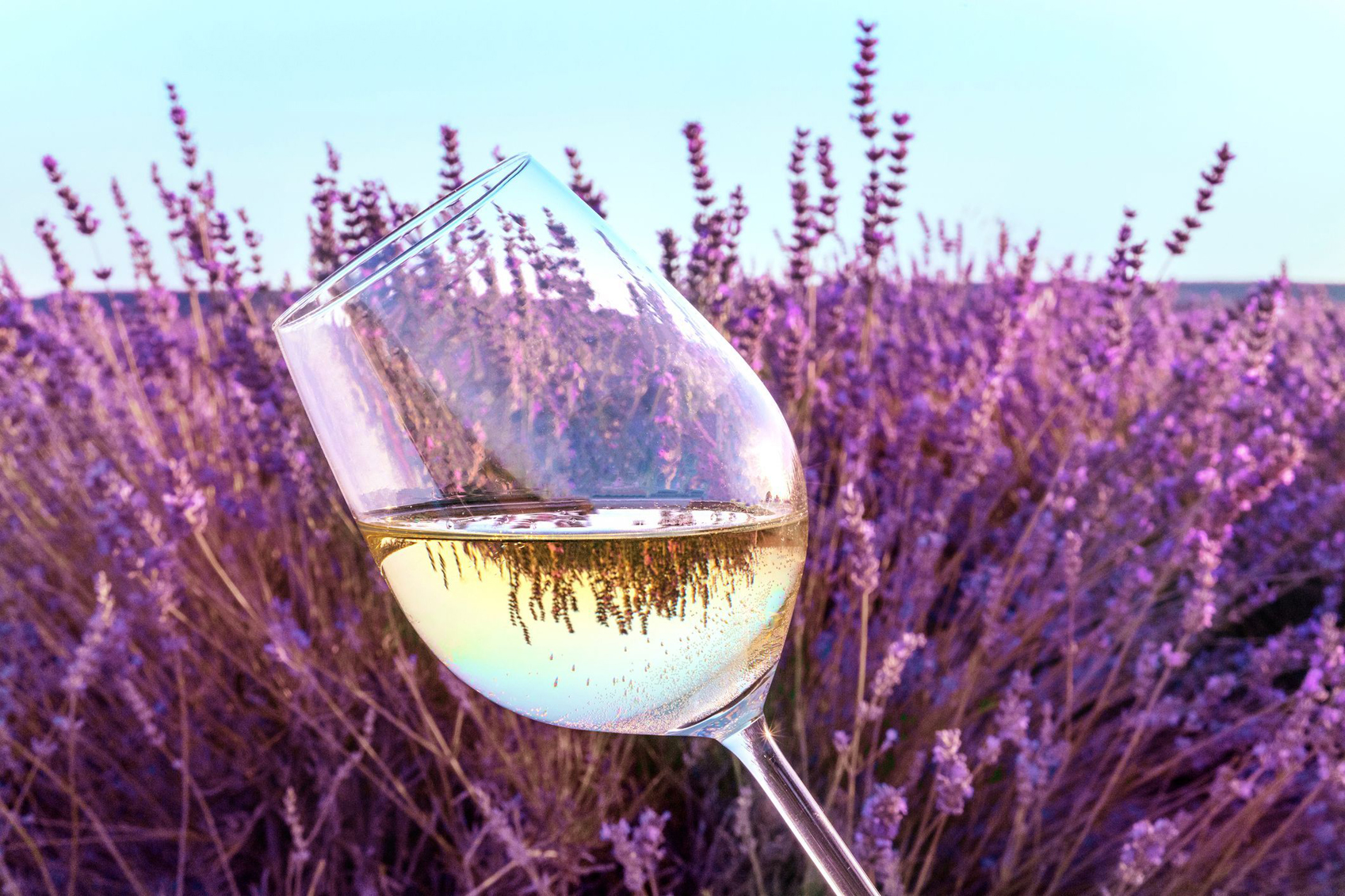 A glass of wine held against a lavender field
