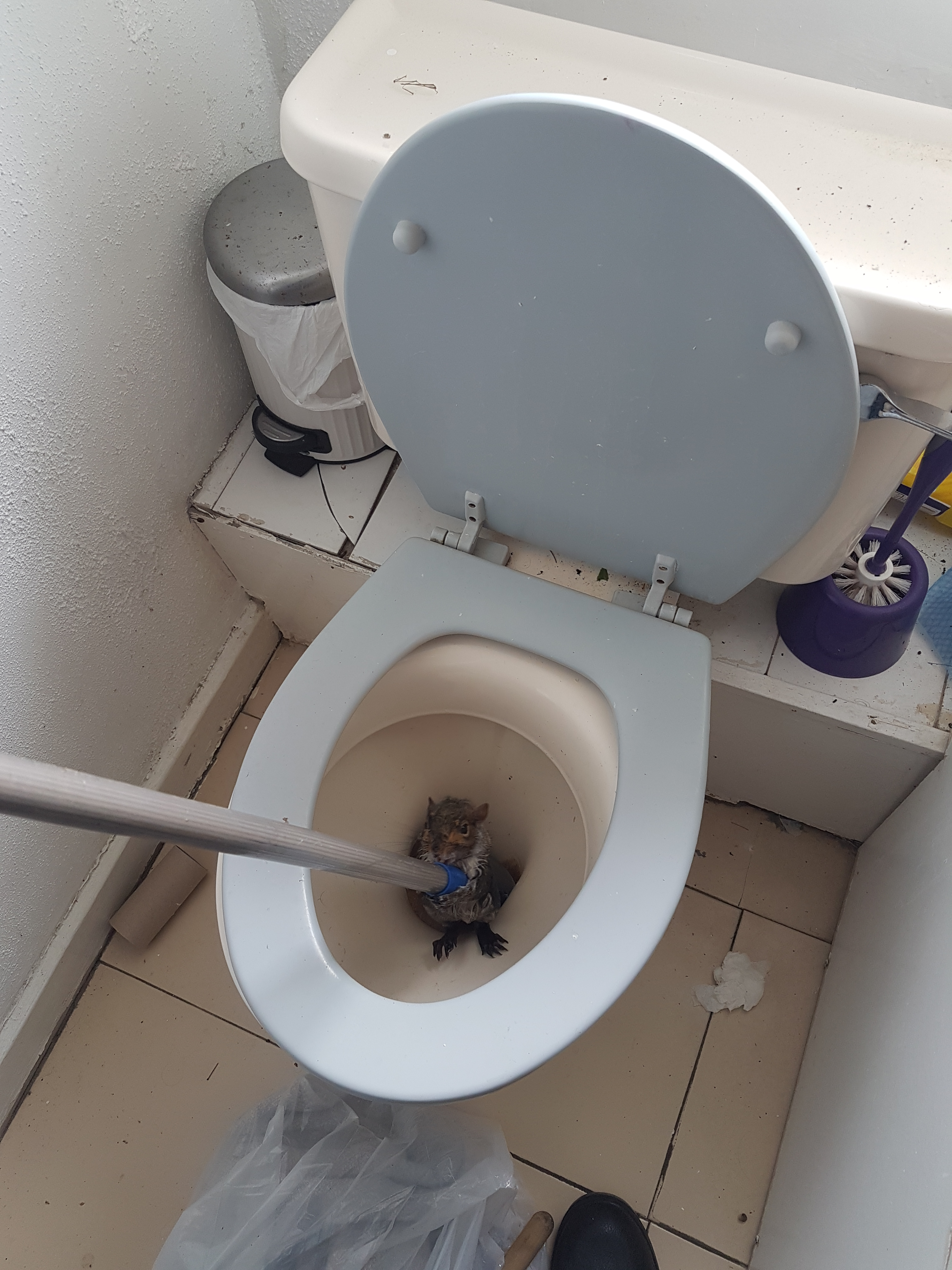 A squirrel stuck in a toilet at a student house (RSPCA)