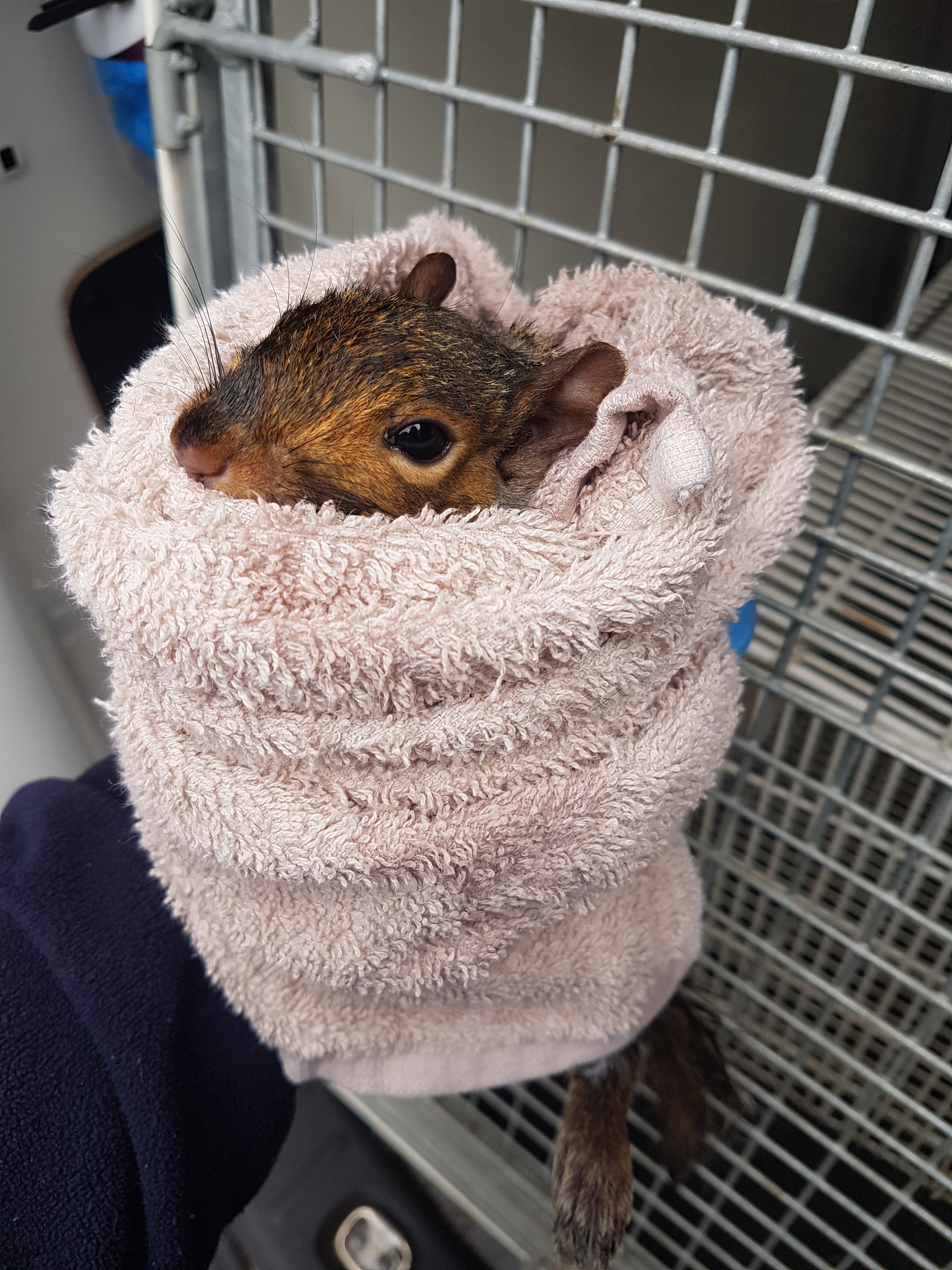 A squirrel rescued from a toilet by the RSPCA (RSPCA)