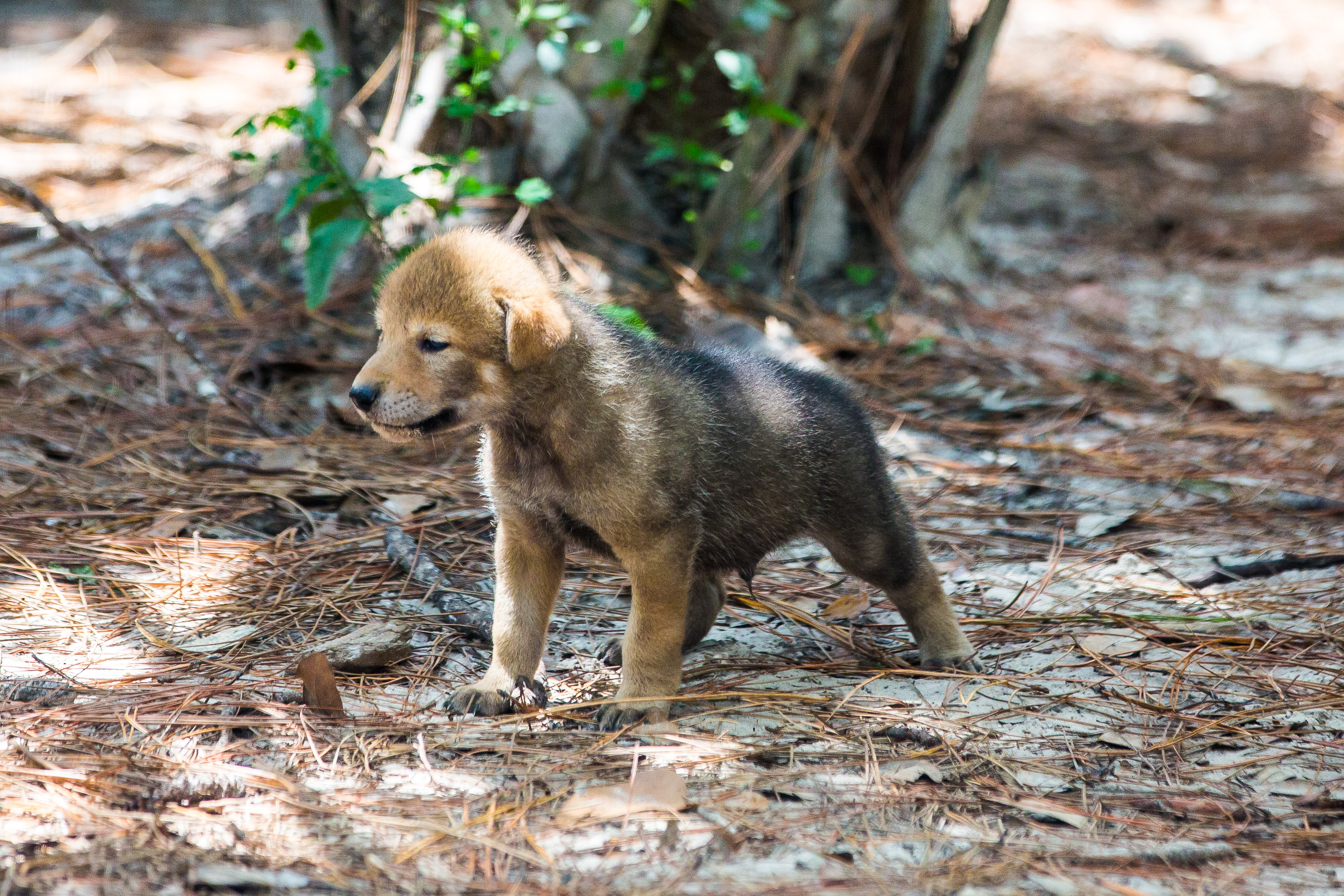 Red wolf pups at ZooTampa at Lowry Park (ZooTampa at Lowry Park)