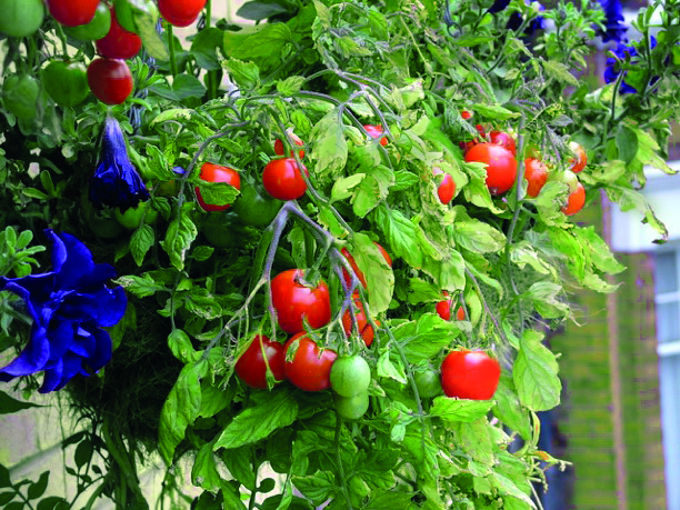 Hanging tomato vines (National Children's Gardening Week/PA)
