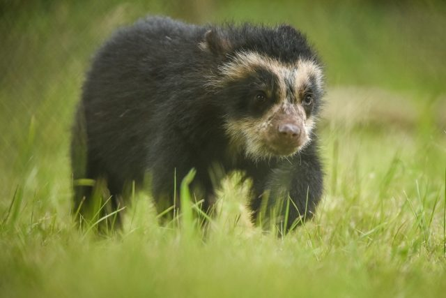 A project to protect spectacled bears and reduce poverty in Bolivia has received funding (Chester Zoo/PA)