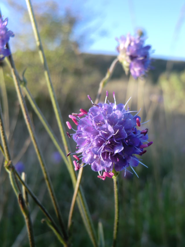 The decline of species such as devil's-bit scabious is of particular concern as many insects rely on them (Plantlife/PA)