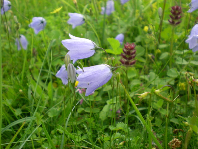 Harebells are among the plants which are now 'near threatened', experts warn (Beth Halski/Plantlife/PA)