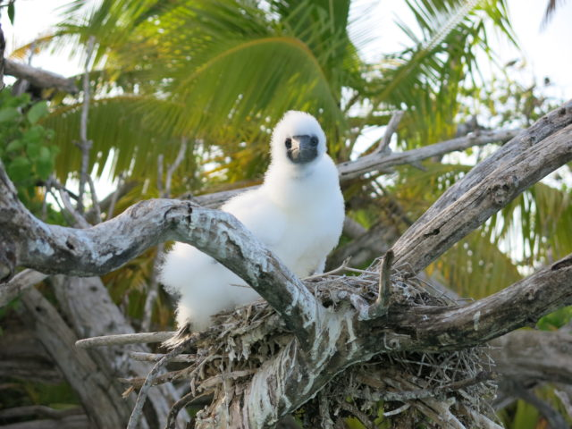 A booby chick above a coral reef lagoon