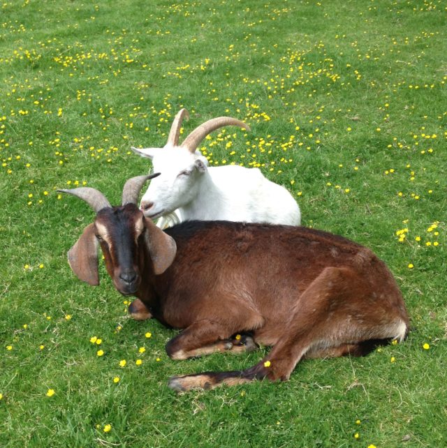Goats Like Your Smile, Hinting Farm Animals Read Emotions